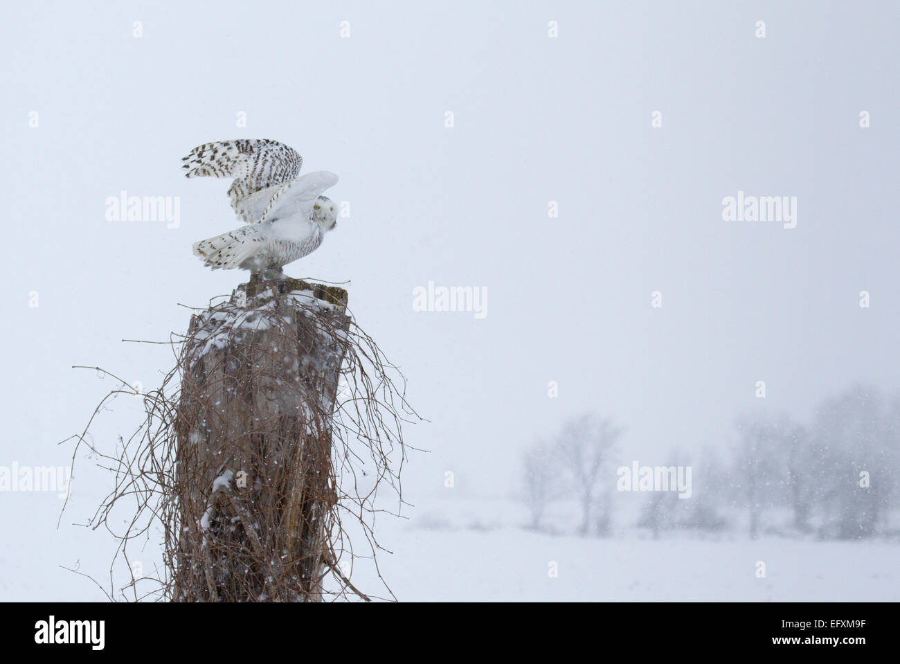 Snowy Owl Perched on Tree Stump - Stock Image