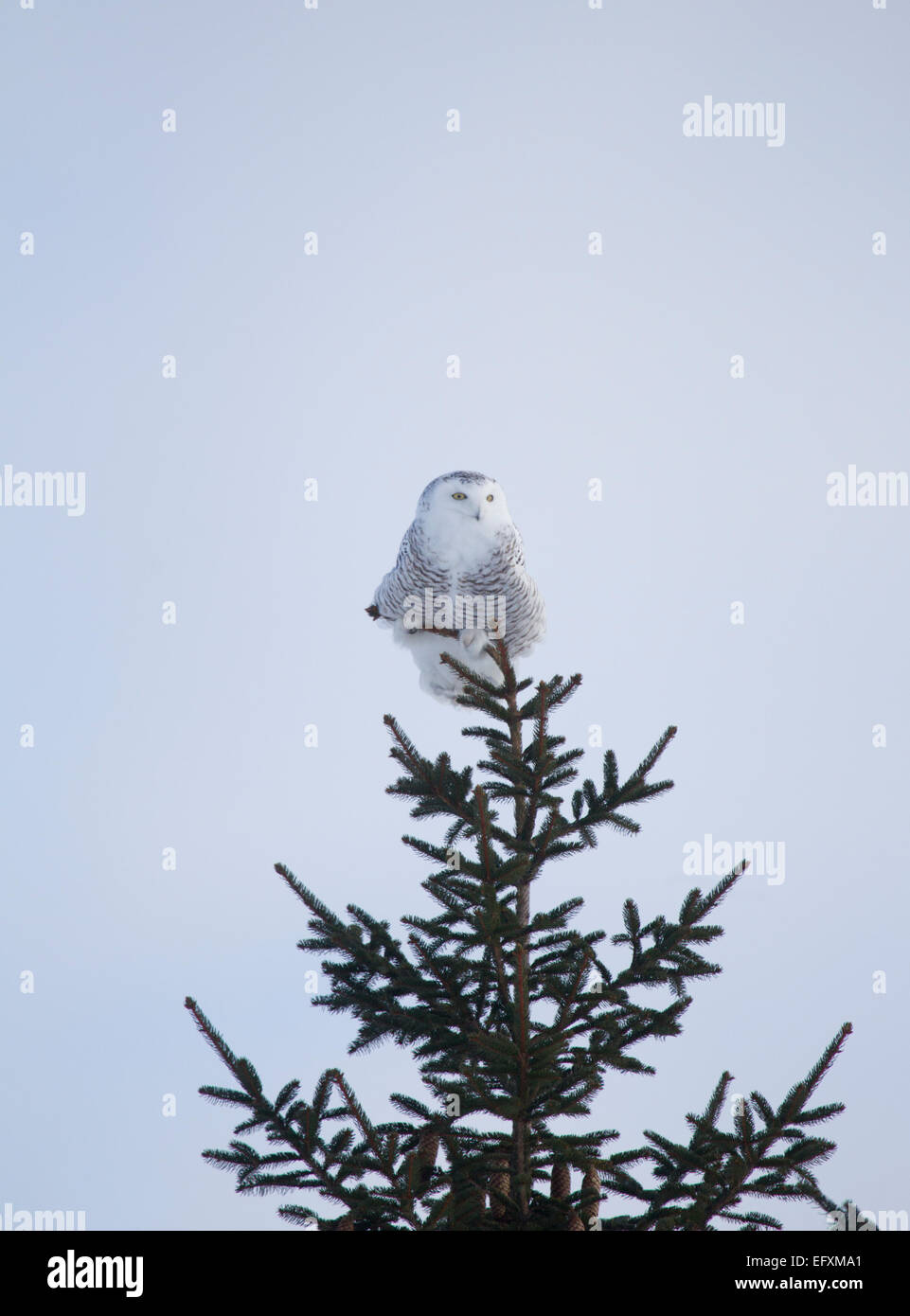 Snowy Owl Perched in Top of a Pine Tree - Stock Image
