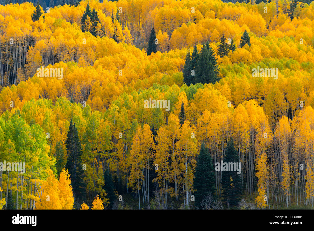 Gunnison National Forest, West Elk Mountains, CO: Aspen grove in fall - Stock Image