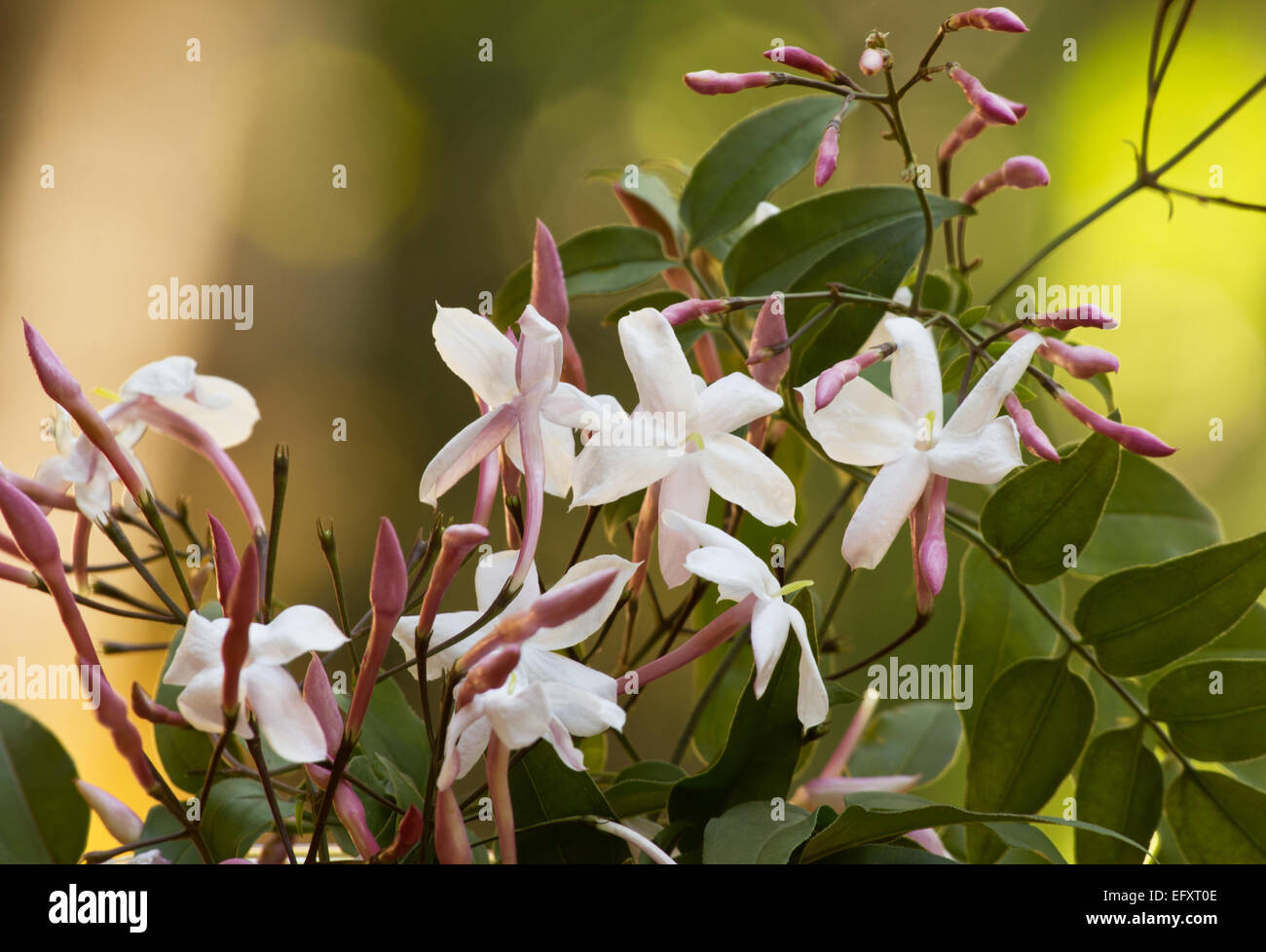 Pink jasmine jasminum polyanthum plant flowers and buds on natural pink jasmine jasminum polyanthum plant flowers and buds on natural background izmirmasajfo