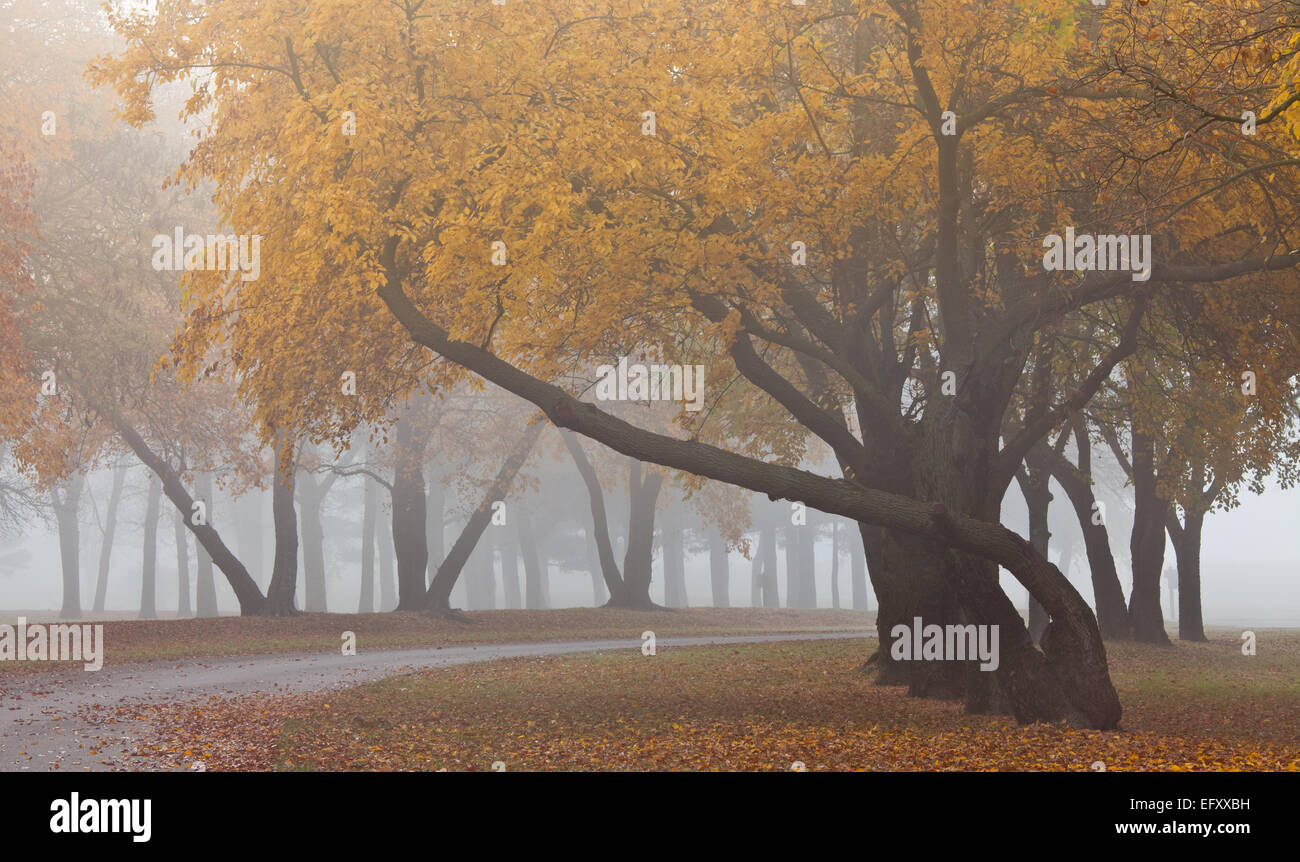 Beeds Lake State Park, Franklin County, Iowa Gracefully curved trunks of fall colored trees in fog - Stock Image