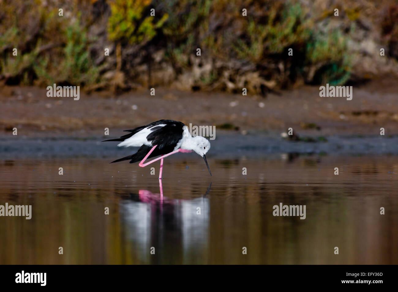 A black-winged stilt sprucing oneself up - Stock Image