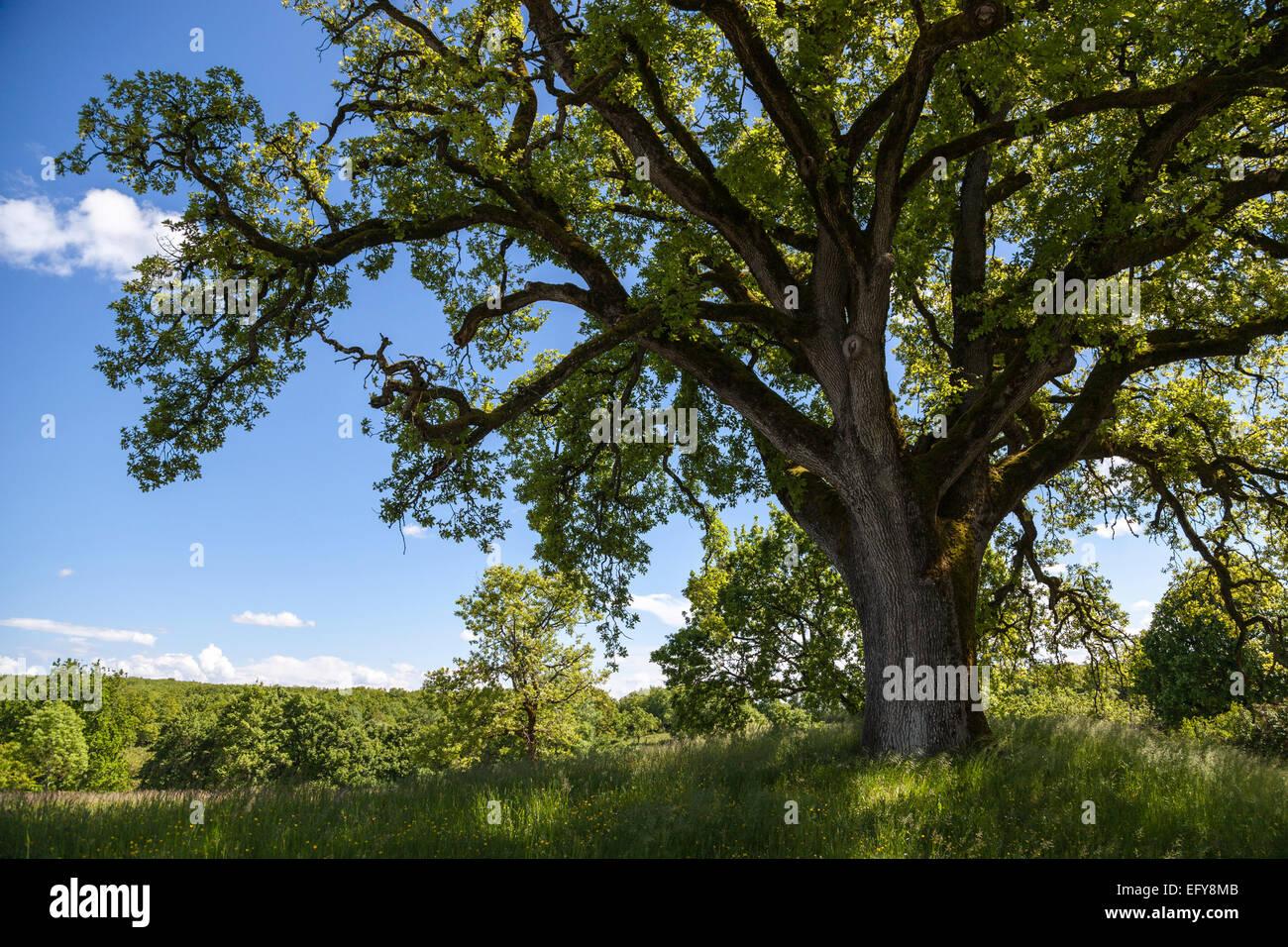 Ancient Quercus robur (Pedunculate oak) in a field - Stock Image