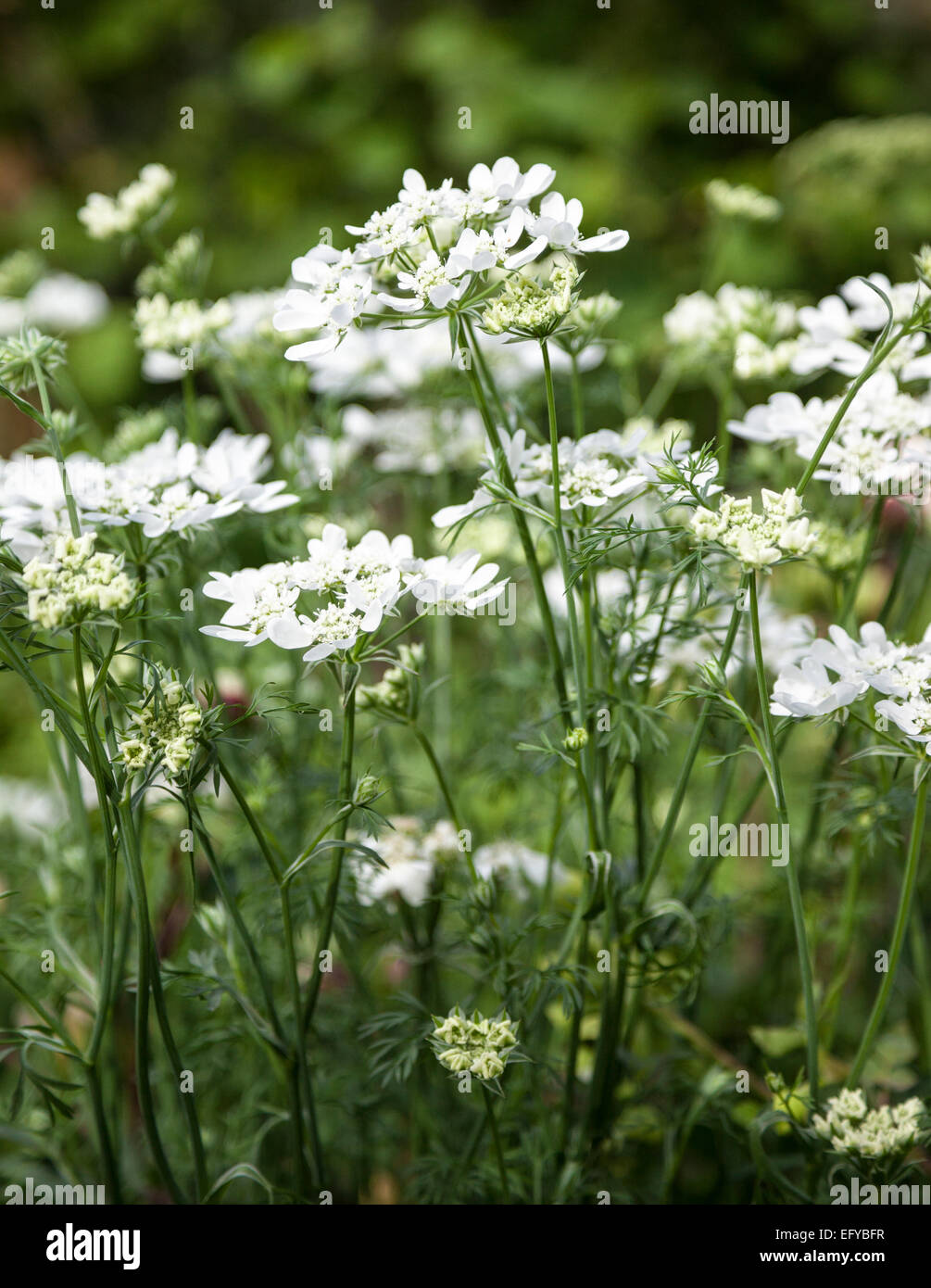 Orlaya grandiflora (white lace flower) Stock Photo