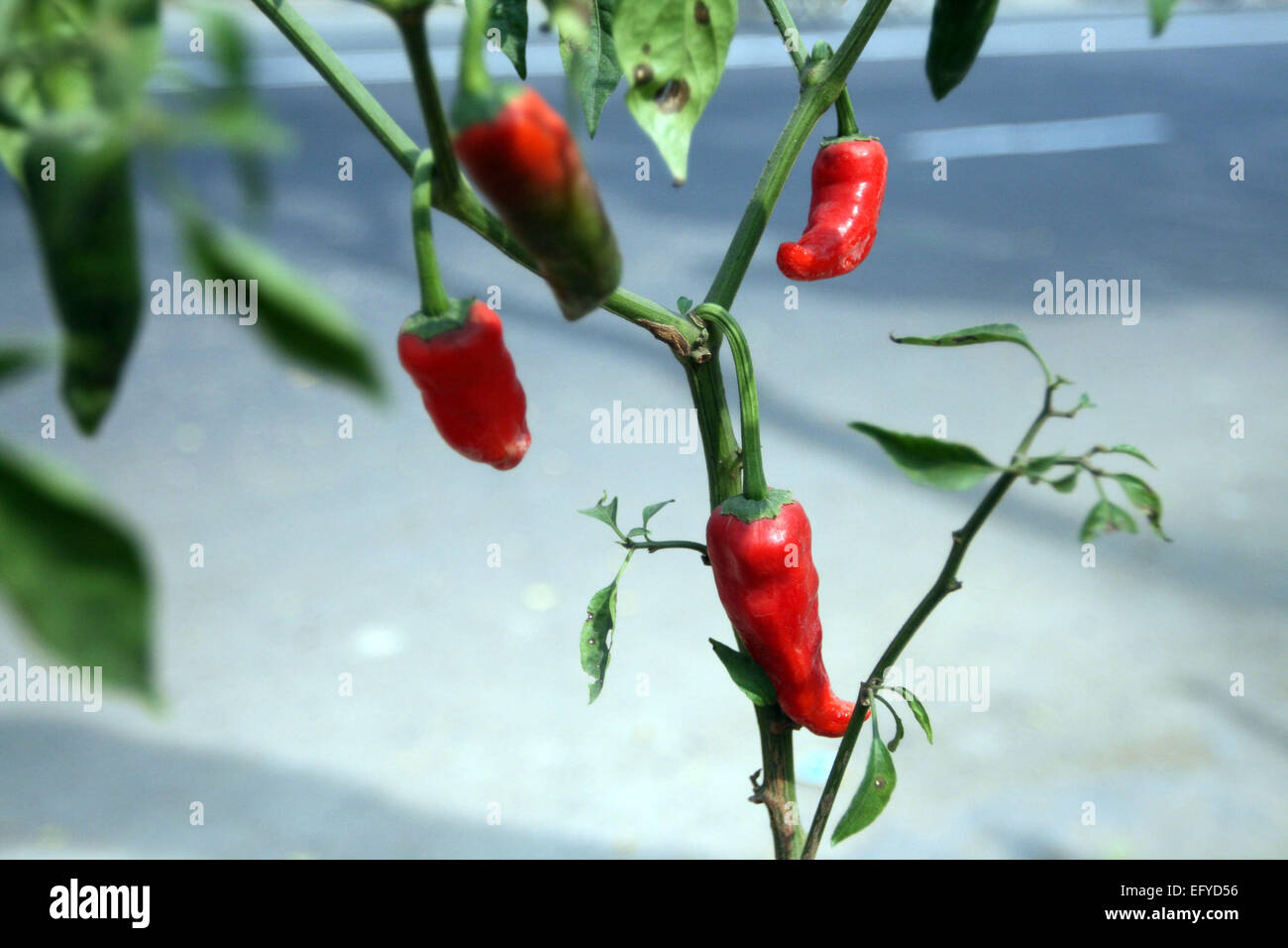 Red and green hot chili peppers on a tree Stock Photo