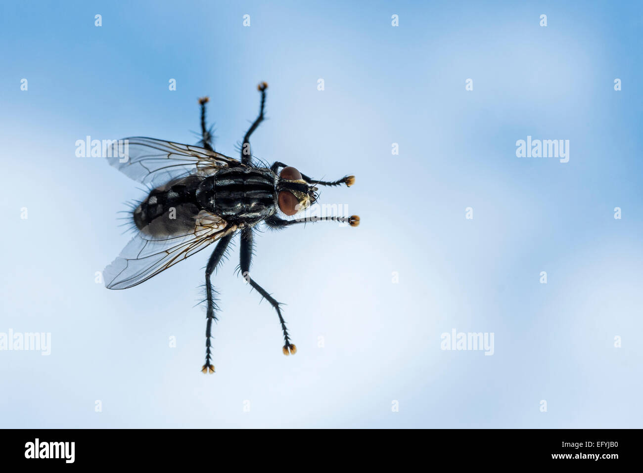 Close-up of a common housefly against a blue background - Stock Image
