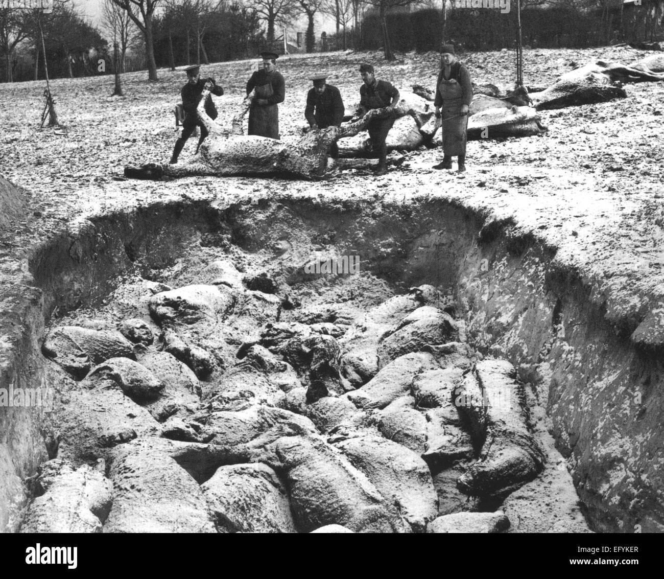 FIRST WORLD WAR  Mass burial of horses in winter 1916 by British soldiers. Location unknown. Photo British Official - Stock Image