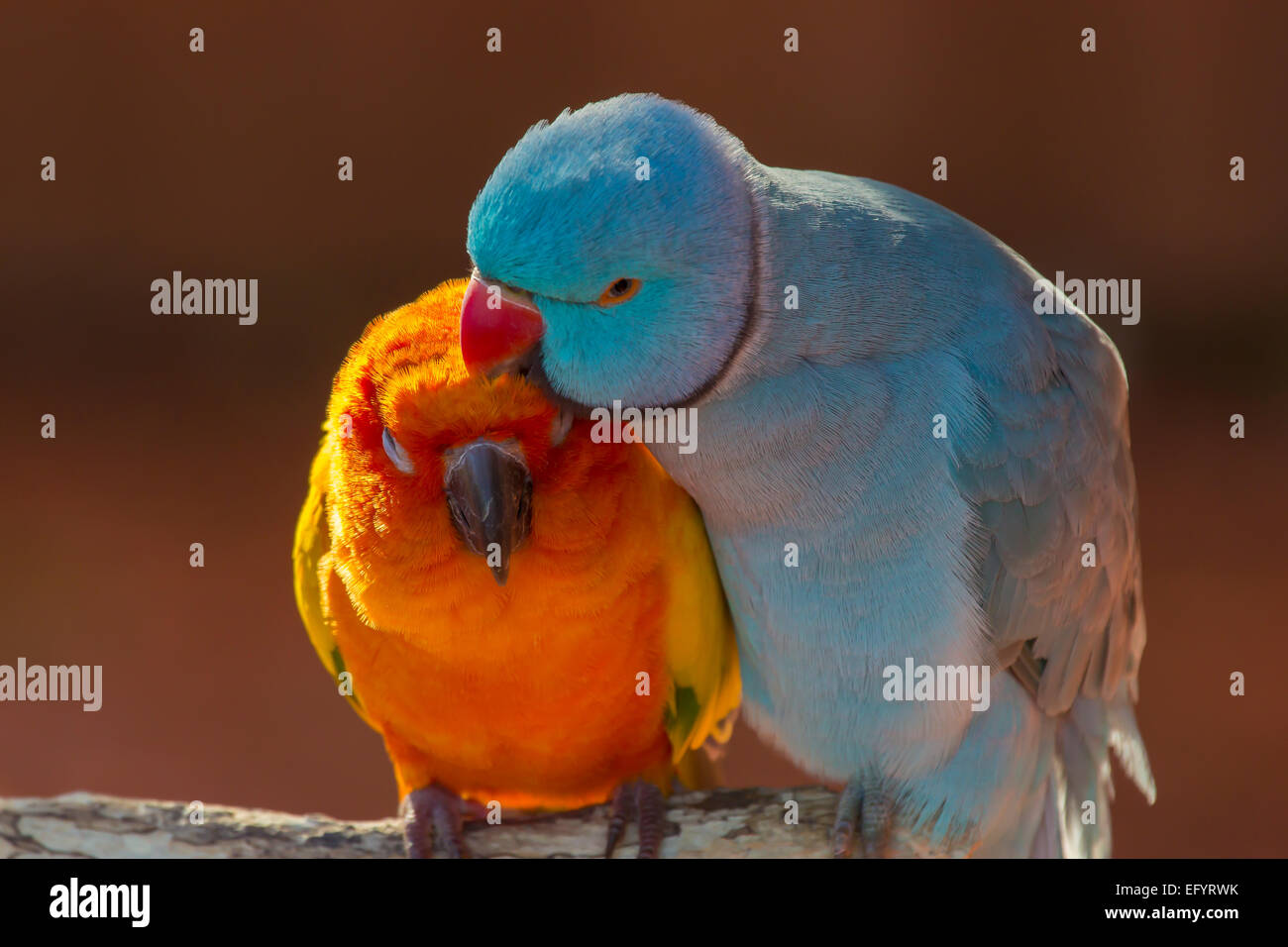 Pair of small colorful parrot Lovebirds  Agapornis grooming each other - Stock Image