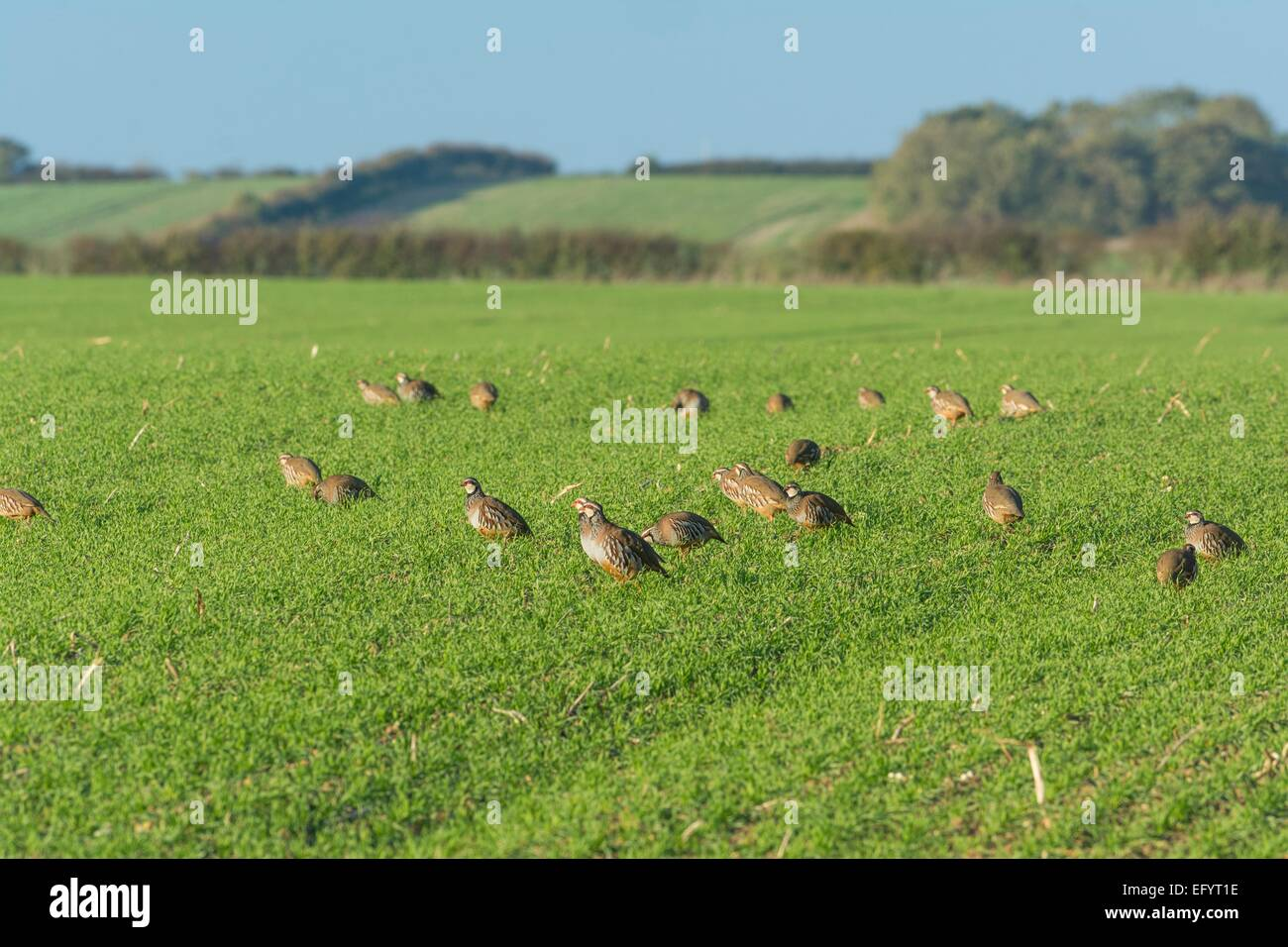 Covey of  red-legged partridges -  Alectoris rufa - Stock Image