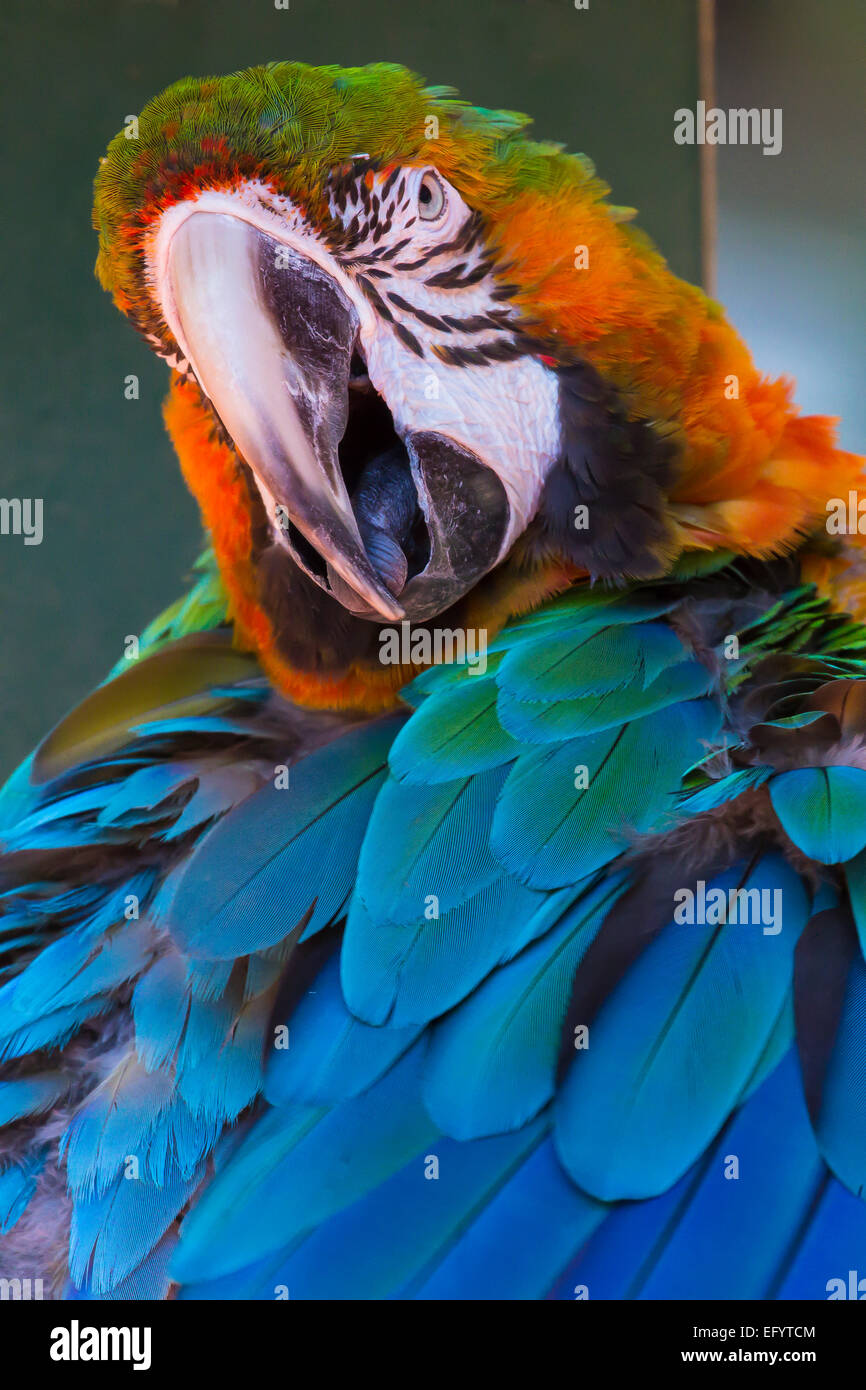 Closeup of single Macaw Stock Photo