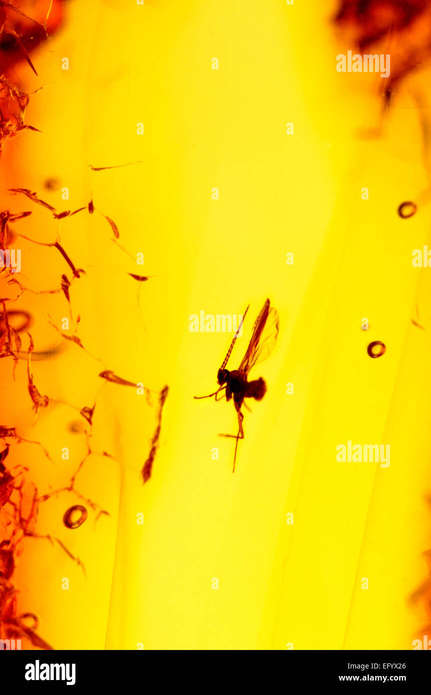 Prehistoric fly preserved in Baltic Amber (Lithuania) - Stock Image