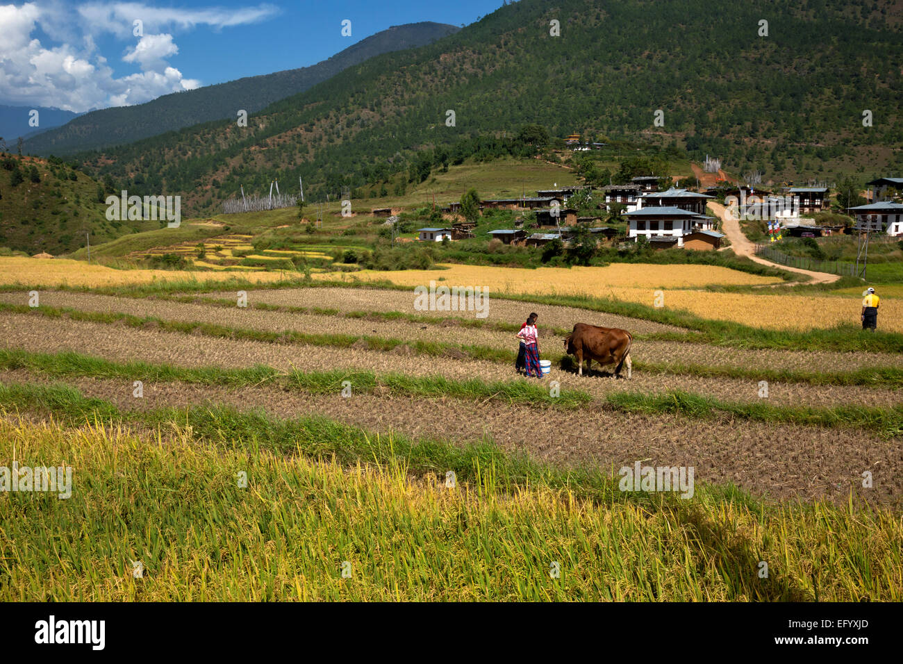 BU00108-00...BHUTAN - Pastoral scene along the trail to Chimi Lhakhang, a temple devoted to the Divine Madman. - Stock Image