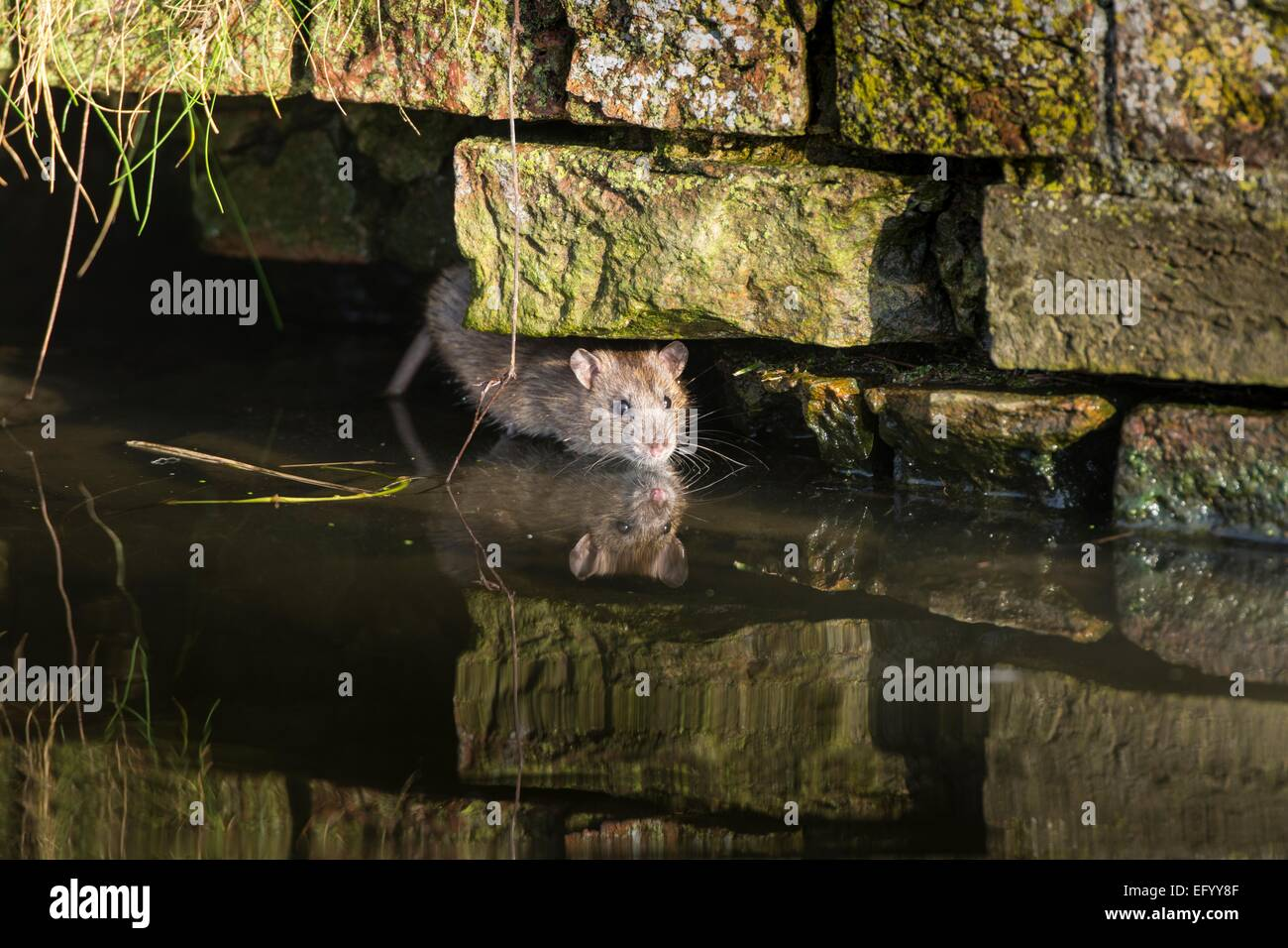 Brown Rat in old sewer - Stock Image