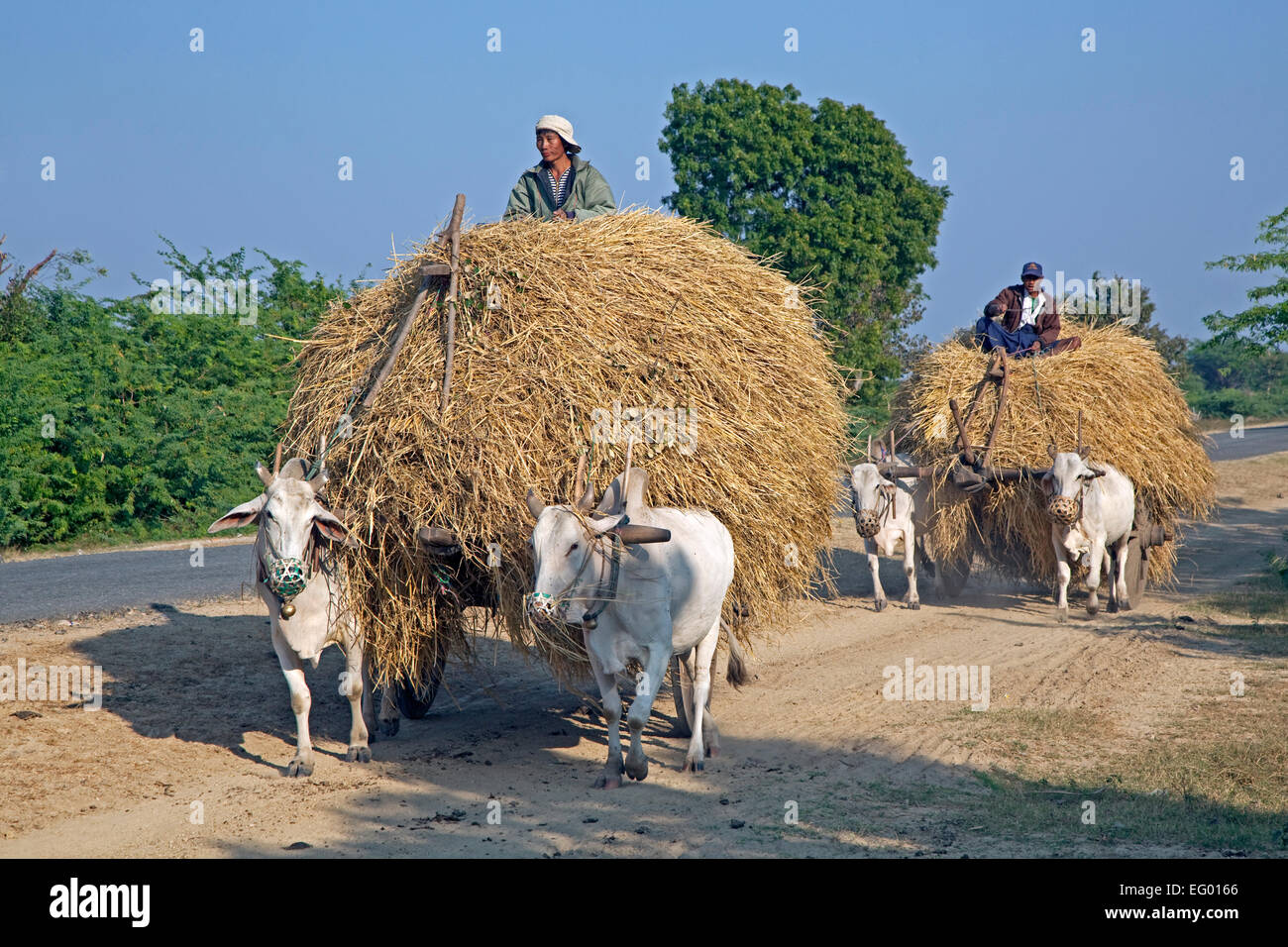 Wooden carts loaded with hay pulled by zebus / Brahman oxen (Bos taurus indicus) in Myanmar / Burma - Stock Image