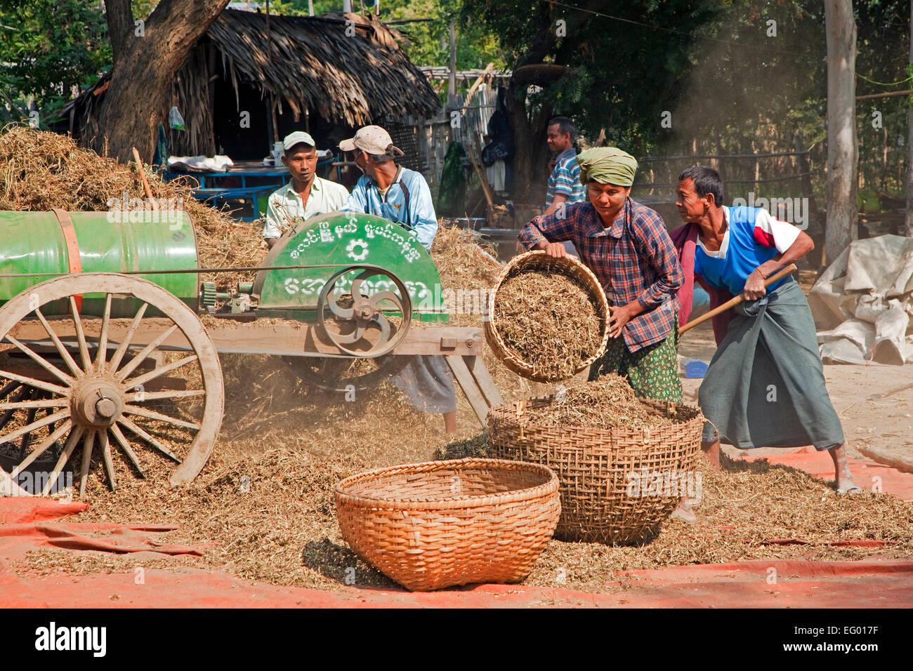Manual labourers cutting rice harvest with thresher / threshing machine, Mandalay Region, Myanmar / Burma - Stock Image