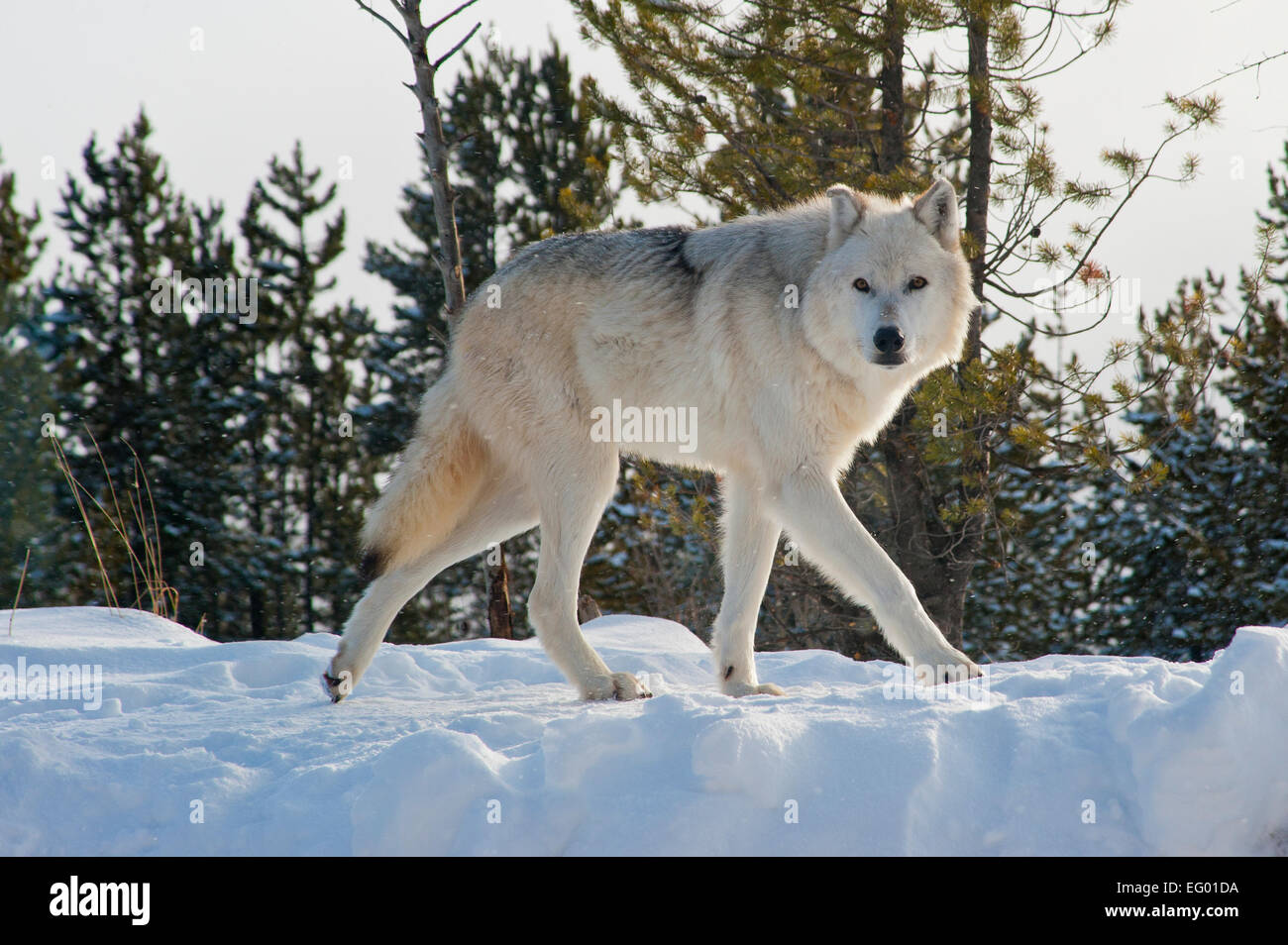 Winter Wolves, Montana, snow, forest predators - Stock Image