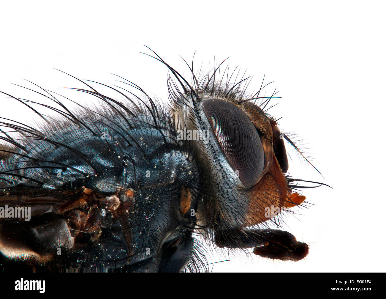 macro image of bluebottle head Calliphora vomitoria tounge protruding all the image is in focus - Stock Image