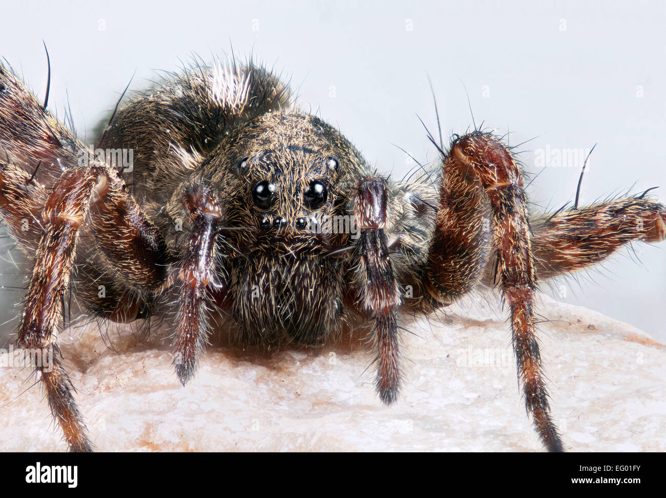Female spotted wolf spider Pardosa amentata with egg sac - Stock Image
