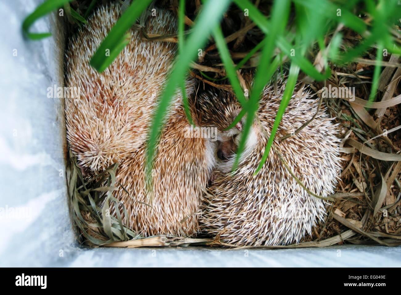 Albino Hedgehogs - Stock Image