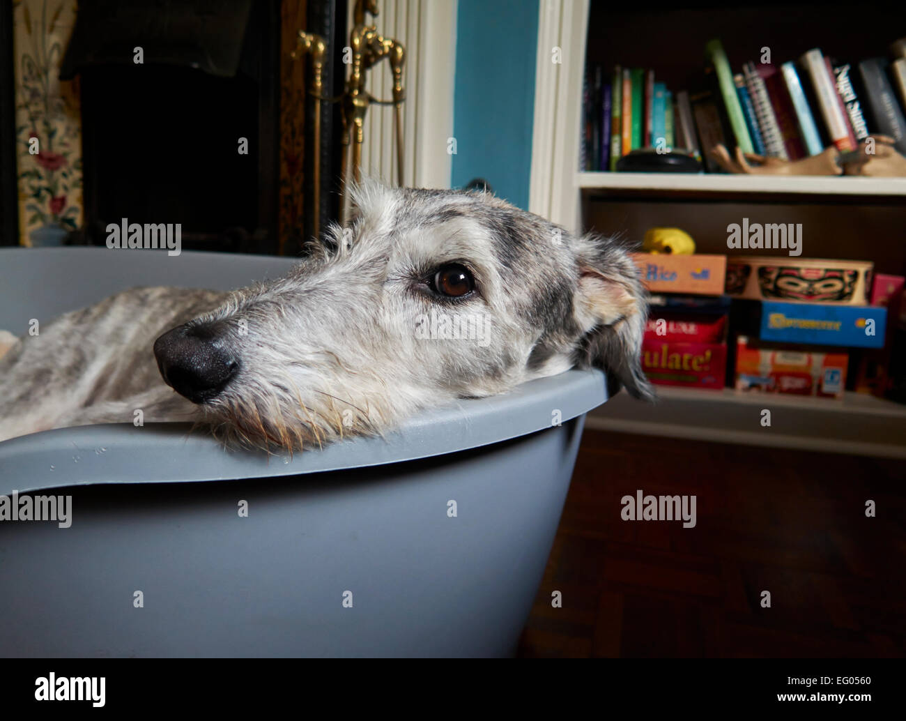 silver grey Lurcher dog, sight hound in his dog bed - Stock Image