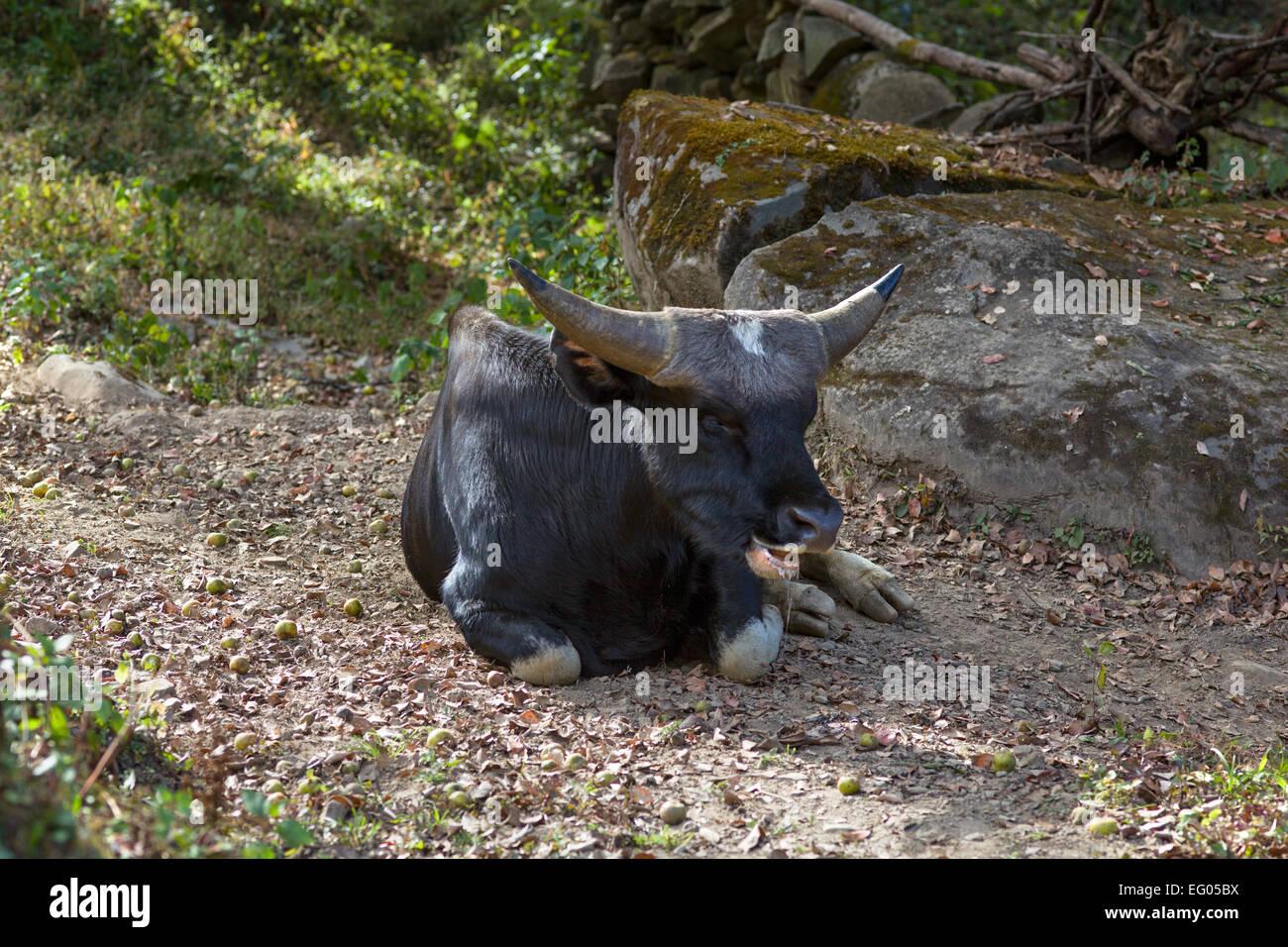 A Mithun, the state animal of Nagaland and Arunachal Pradesh - Stock Image