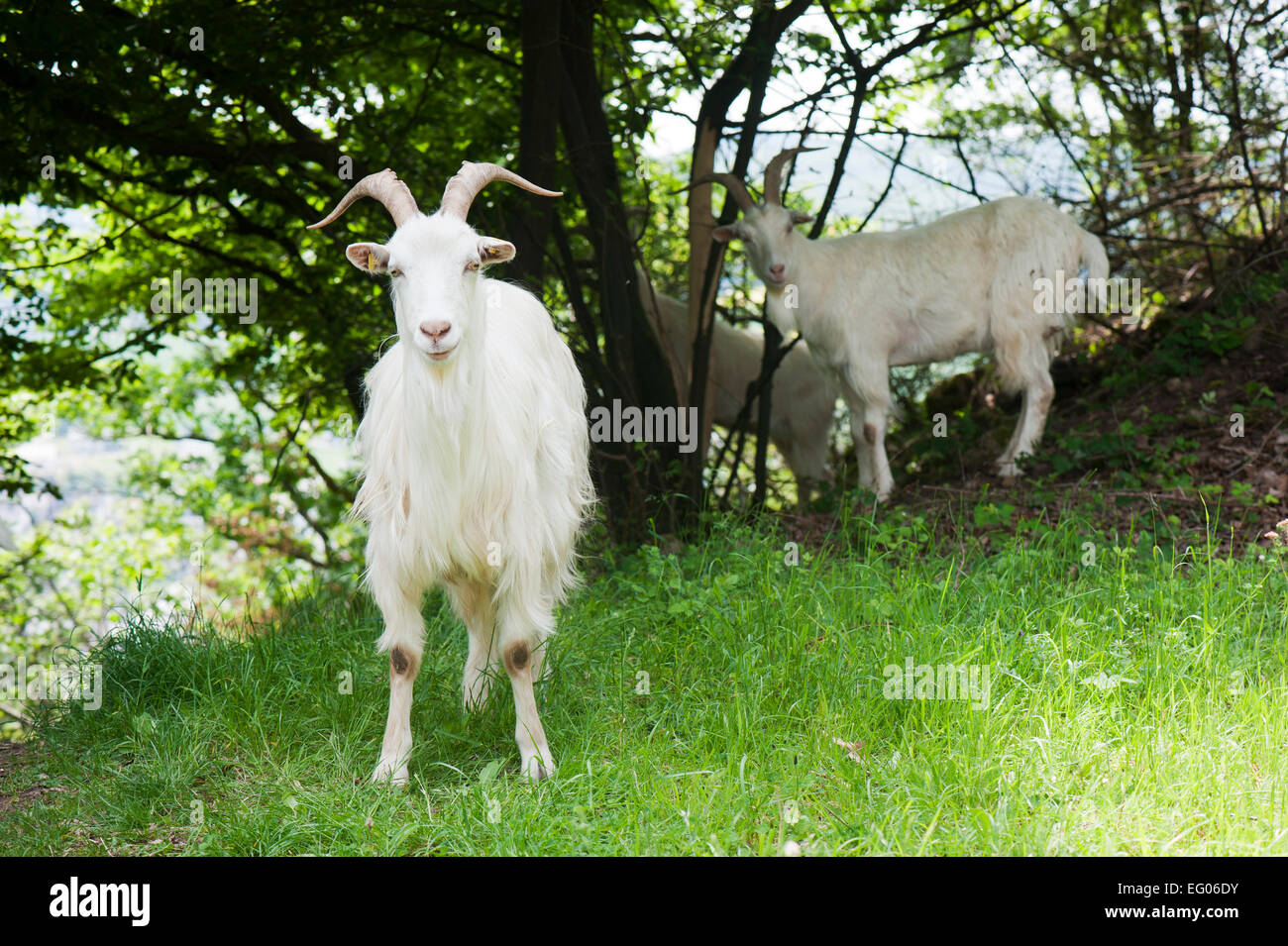 Saanen goats: photos, description and characteristics of the breed 71
