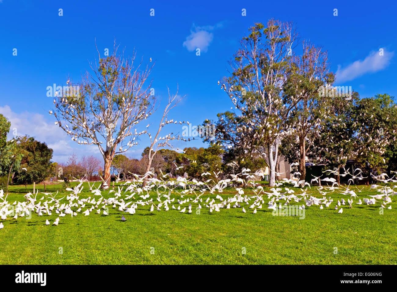 Corella's birds flock flight gum trees South Australia Australian wildlife taking oof - Stock Image