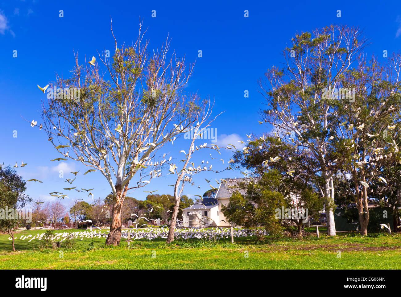 Corella's birds flock flight gum trees South Australia Australian wildlife feeding - Stock Image