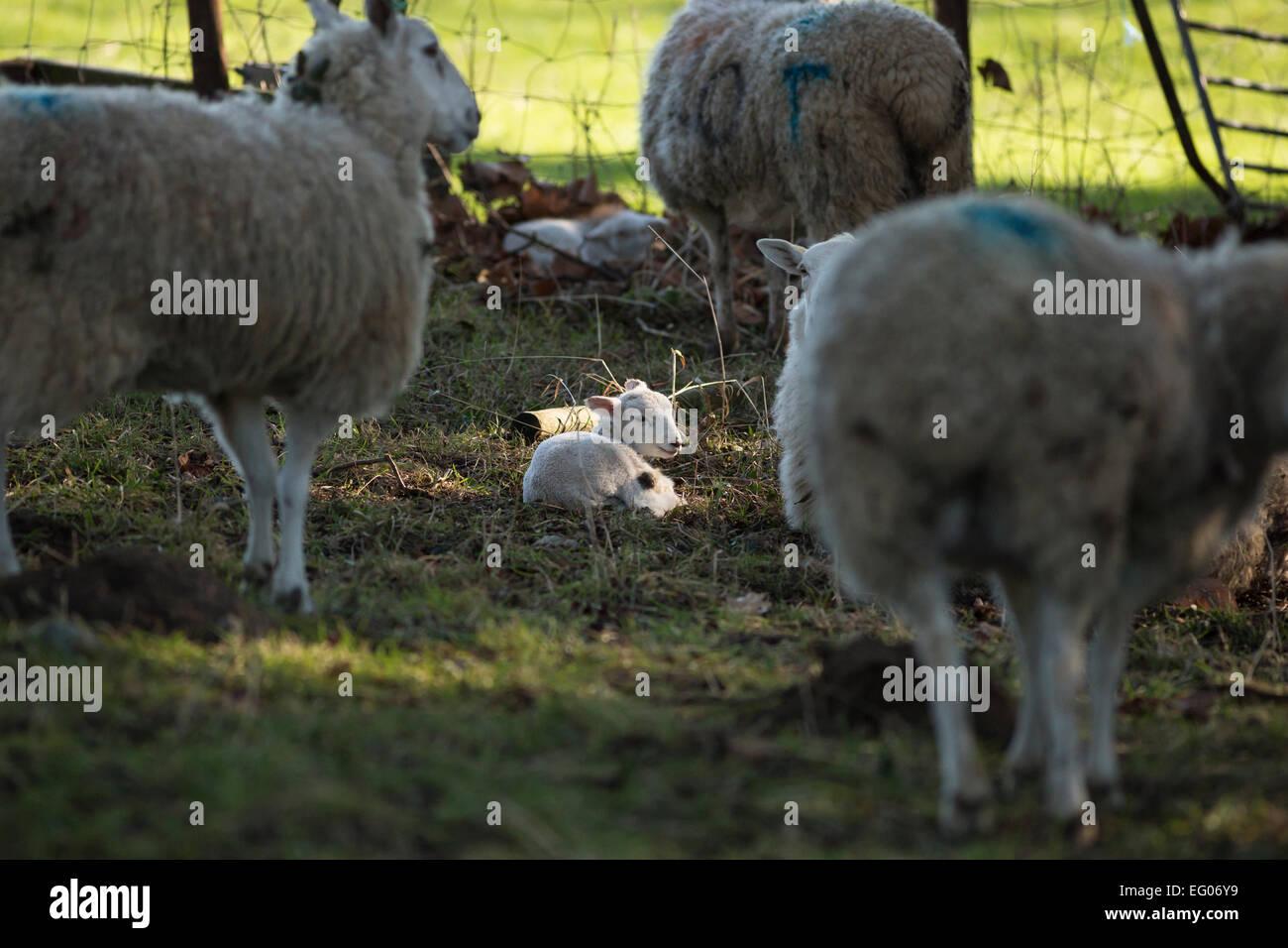 sheep ewe with sunlit lamb in woods - Stock Image