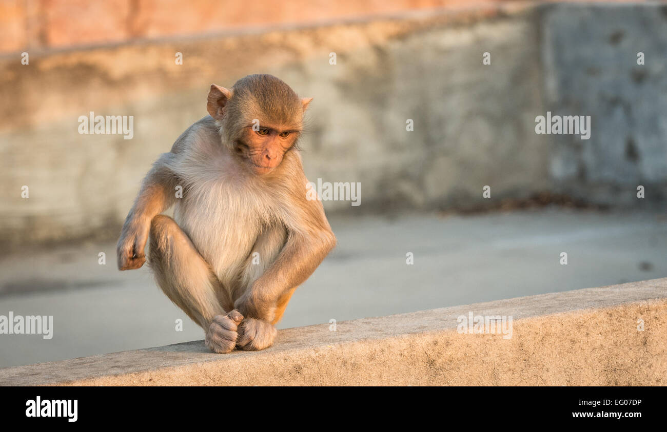 An infant Macaque monkey at the Monkey Temple, Jaipur, India. Stock Photo