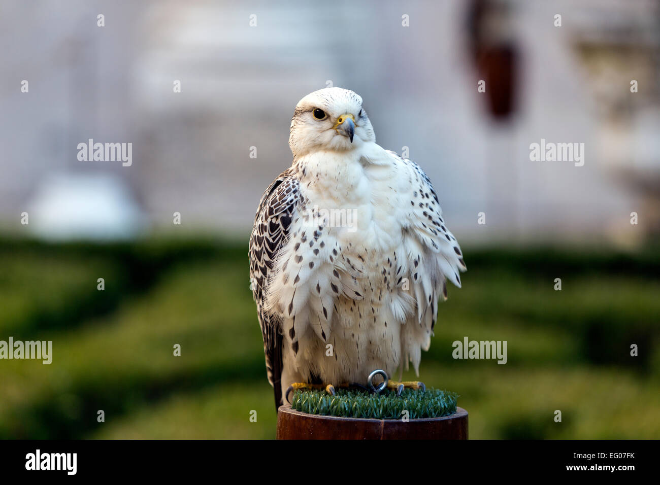 Gyrfalcon Falconry in Mafra National Palace - Stock Image