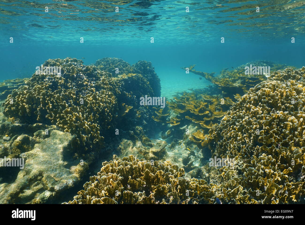 Underwater landscape on a stony coral reef close to the surface in the Caribbean sea - Stock Image
