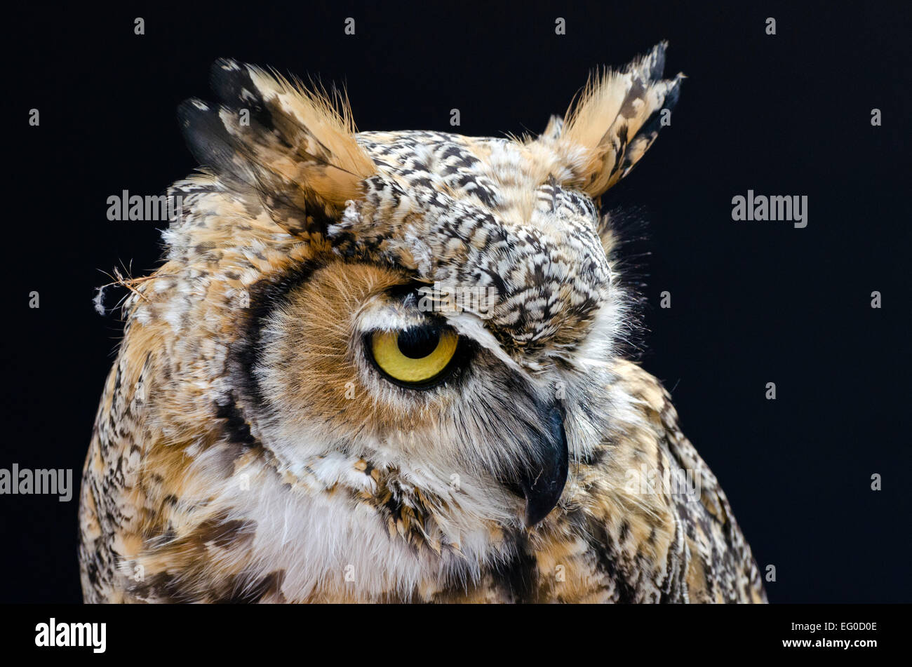 A Great horned owl at a bird of prey rescue centre. - Stock Image