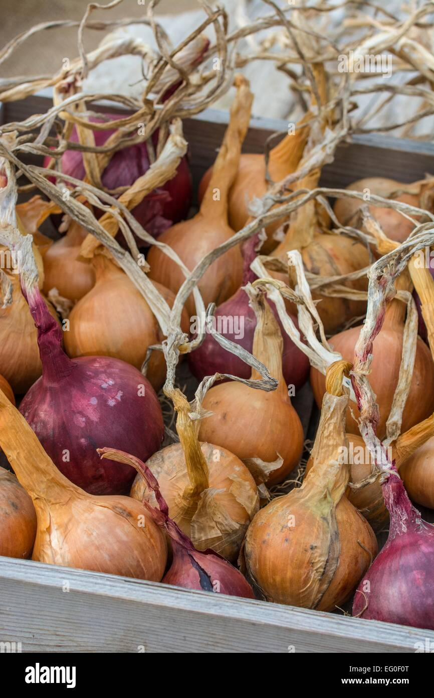 Home grown onions - Stock Image
