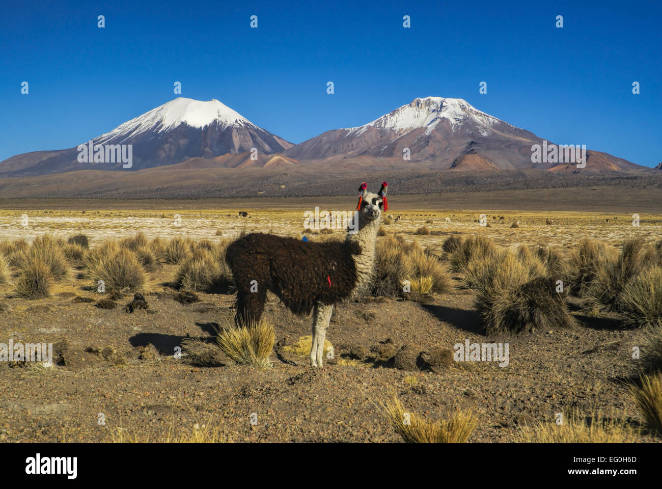 Cute llama in bolivian Sajama national park with scenic volcanoes Paranicota and Pomerape in the background - Stock Image
