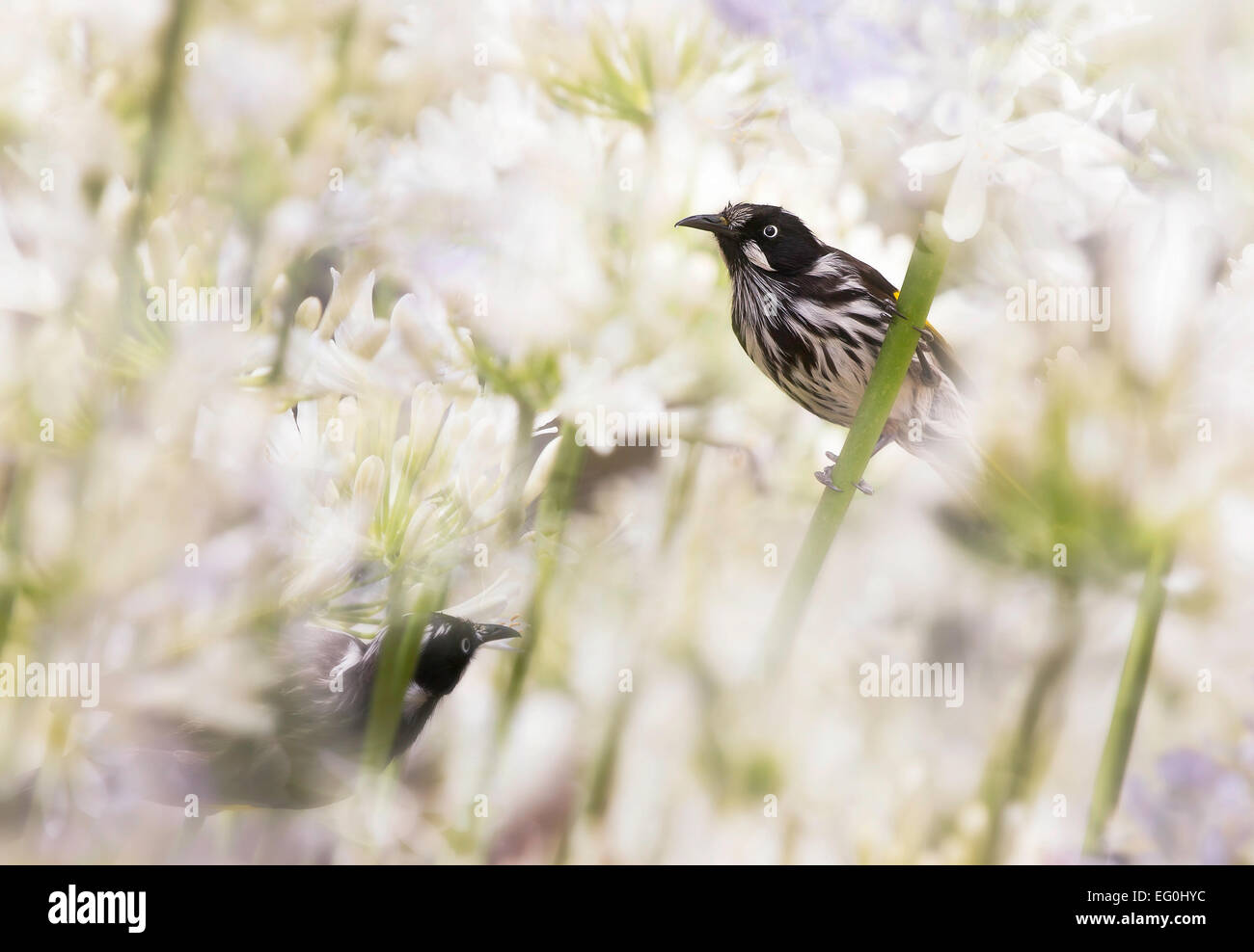 Australia, Melbourne, New Holland Honeyeaters in Agapanthus flowers - Stock Image