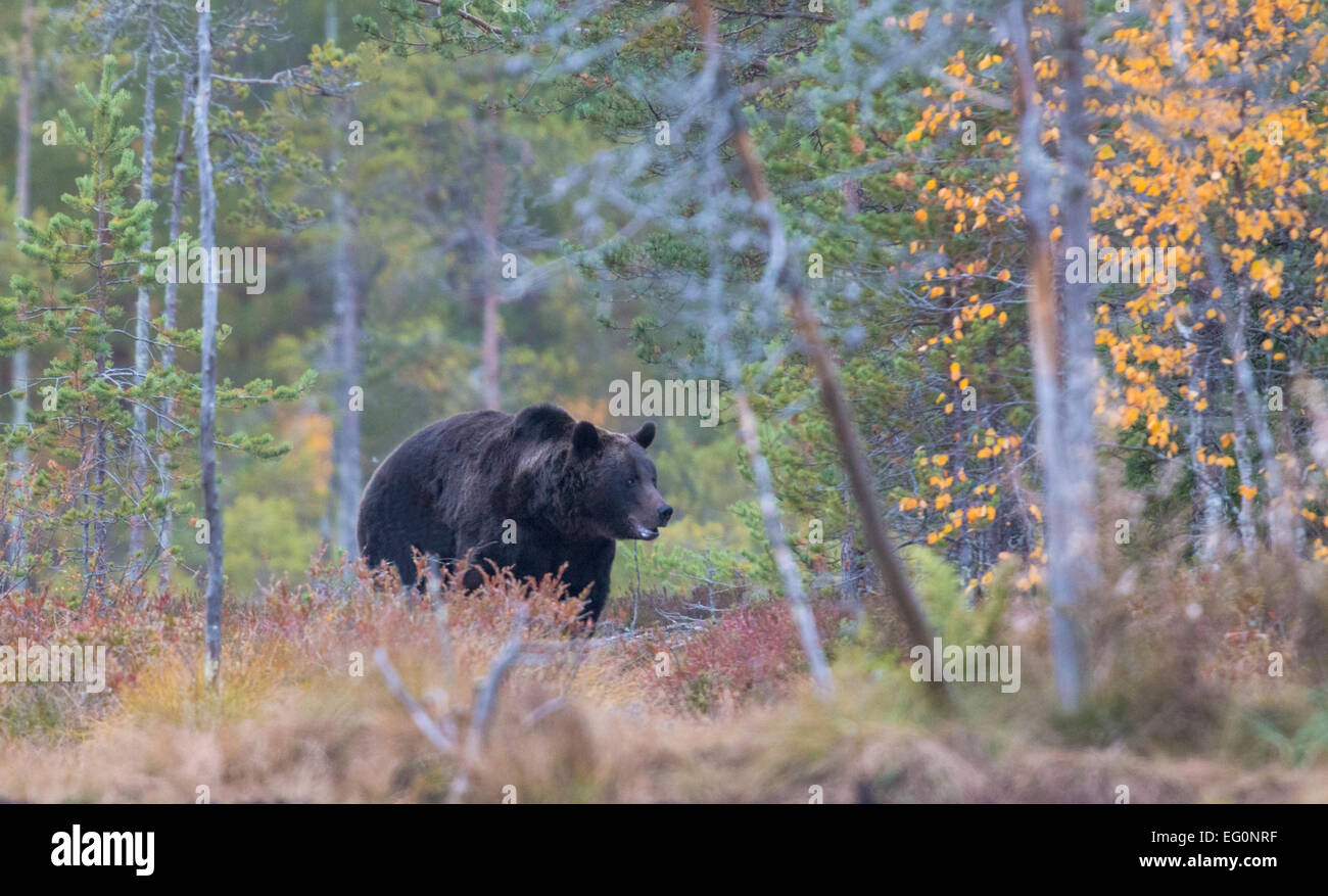 Bown bear coming out from forest, in autumn season, Kuhmo, Finland - Stock Image