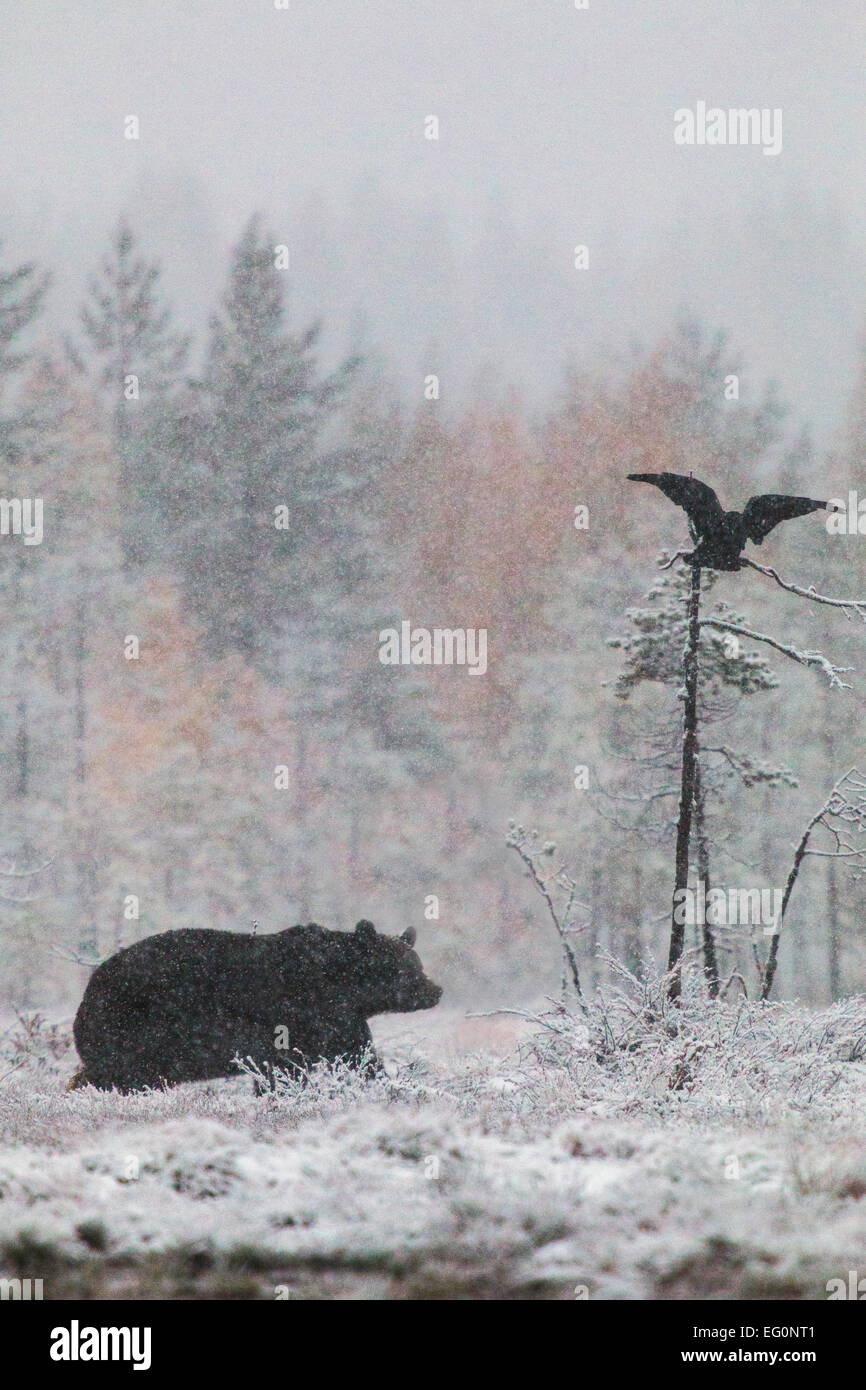 Brown bear, Ursus arctos walking in forest in snow storm and a raven flying above with birches in yellow autumn - Stock Image