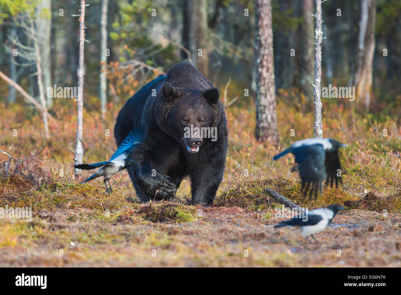 Big brown bear, Ursus arctos coming out from forest and crows are running away, Kuhmo, Finland - Stock Image