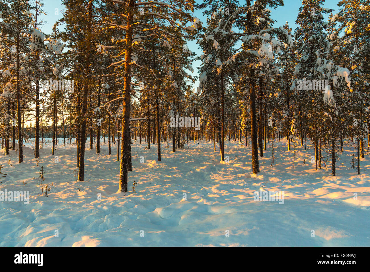 Forest with snowy trees in afternoon light, Gällivare Sweden - Stock Image