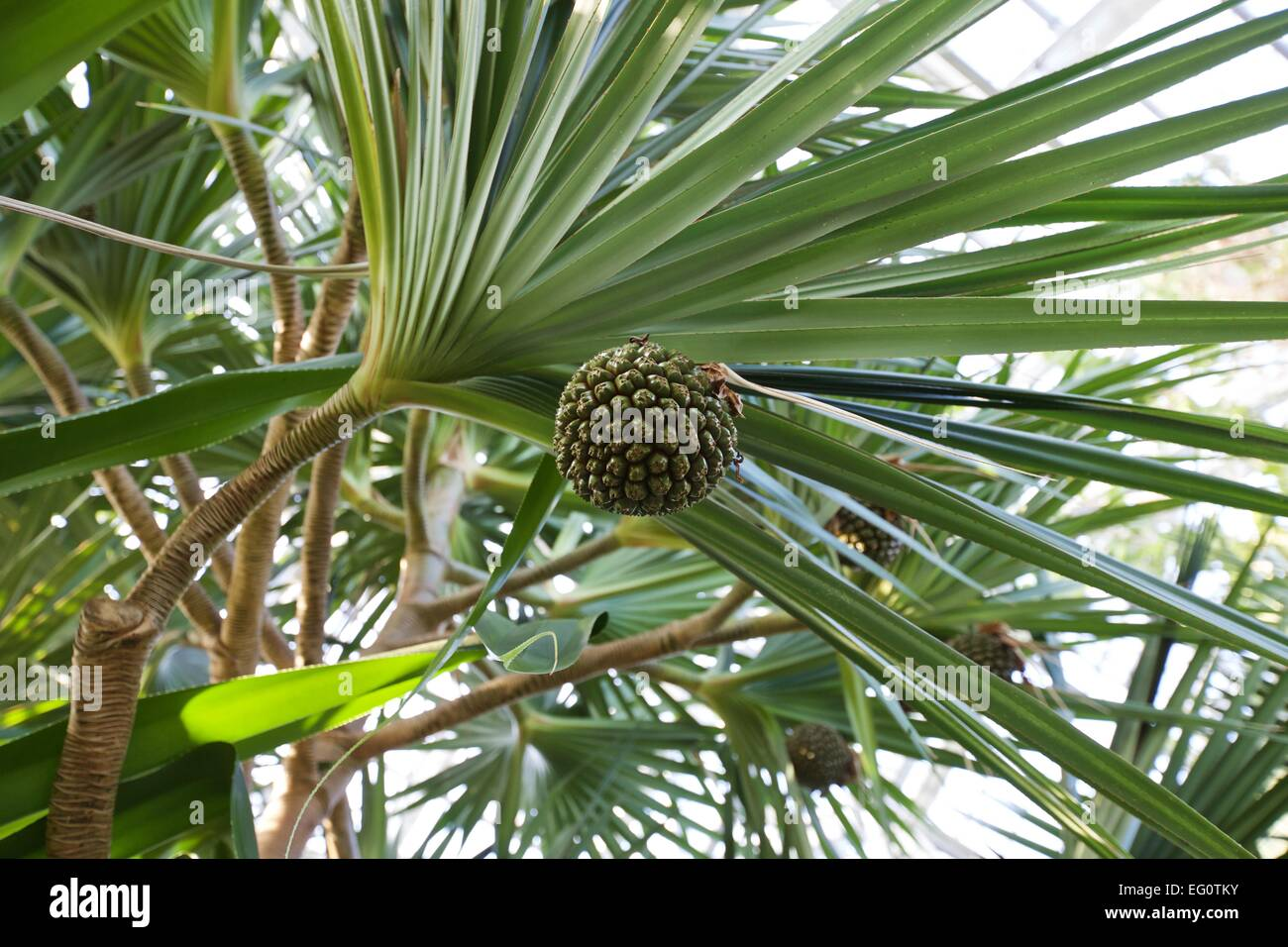 Pandanus fruit growing in the greenhouse at Fred Meijer Gardens in Grand Rapids, Michigan - Stock Image