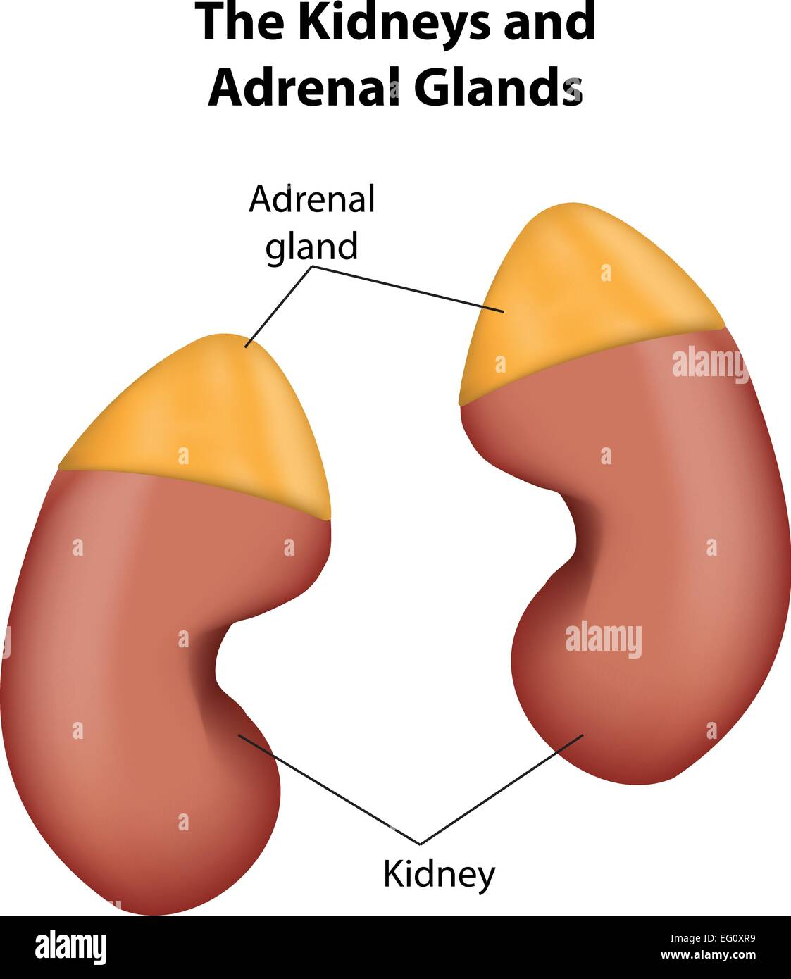 The Adrenal Gland Stock Photos The Adrenal Gland Stock Images Alamy
