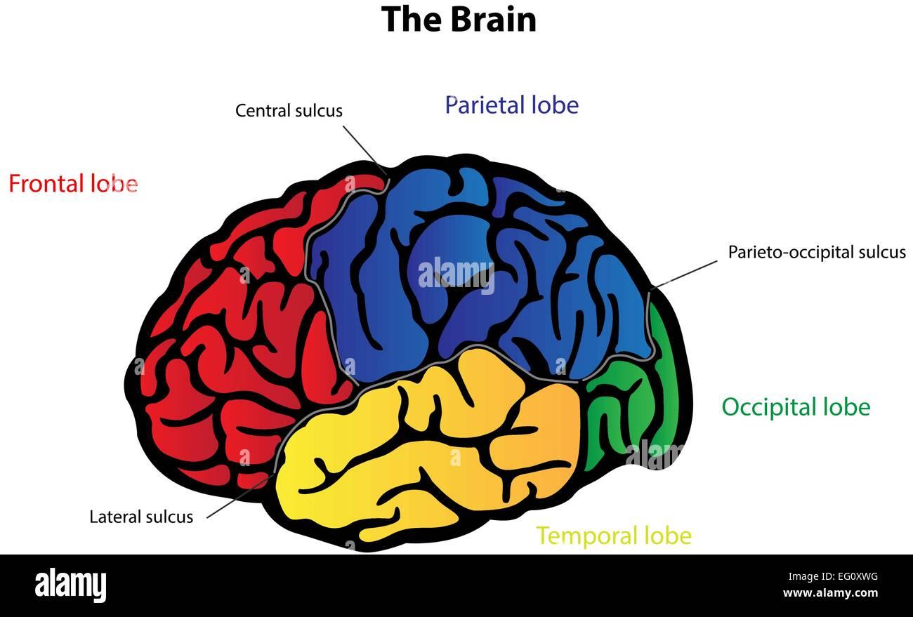 The Brain Labeled Diagram Stock Vector Art Illustration Vector