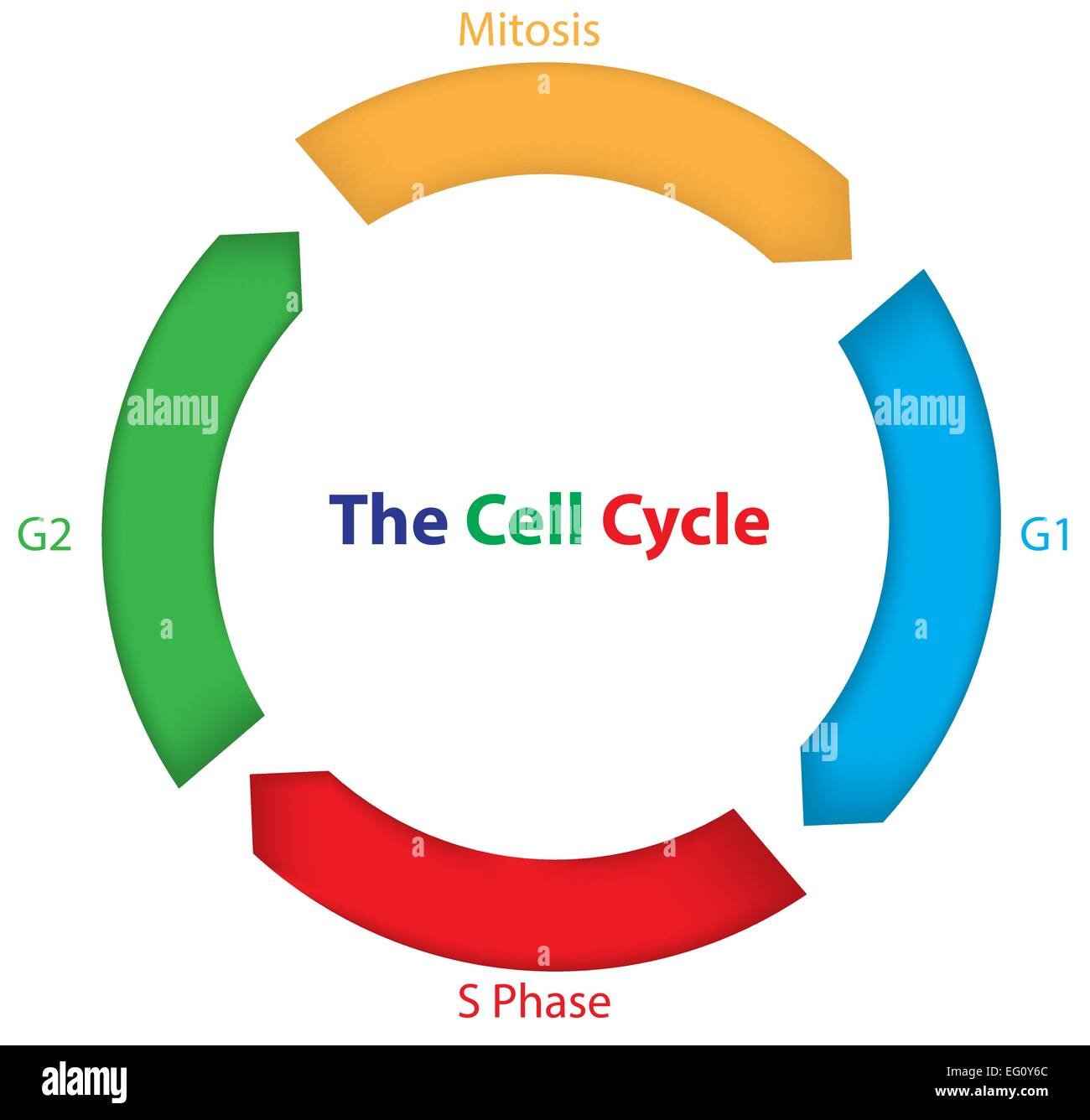 The Cell Cycle for Children Stock Vector