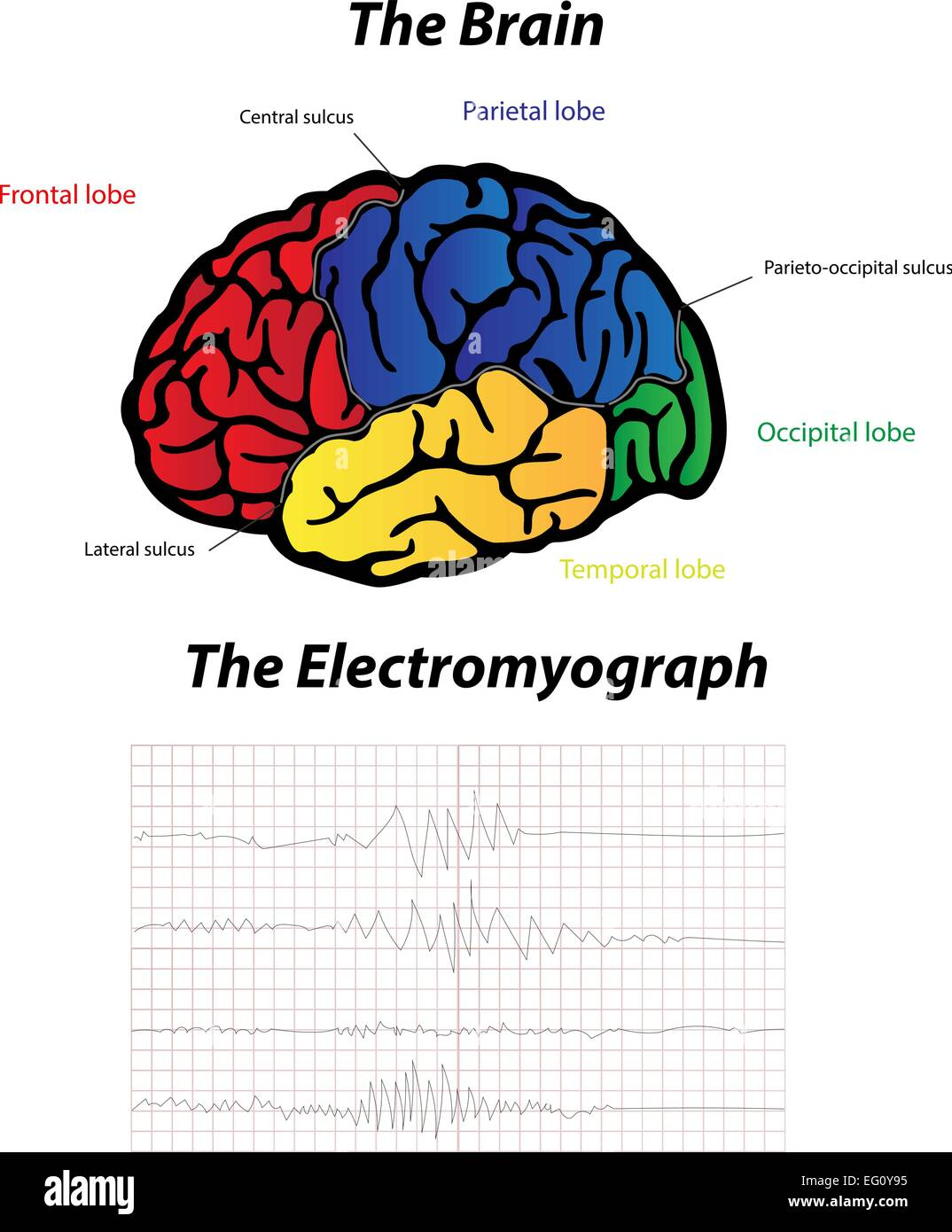 The Electromyograph - Stock Image