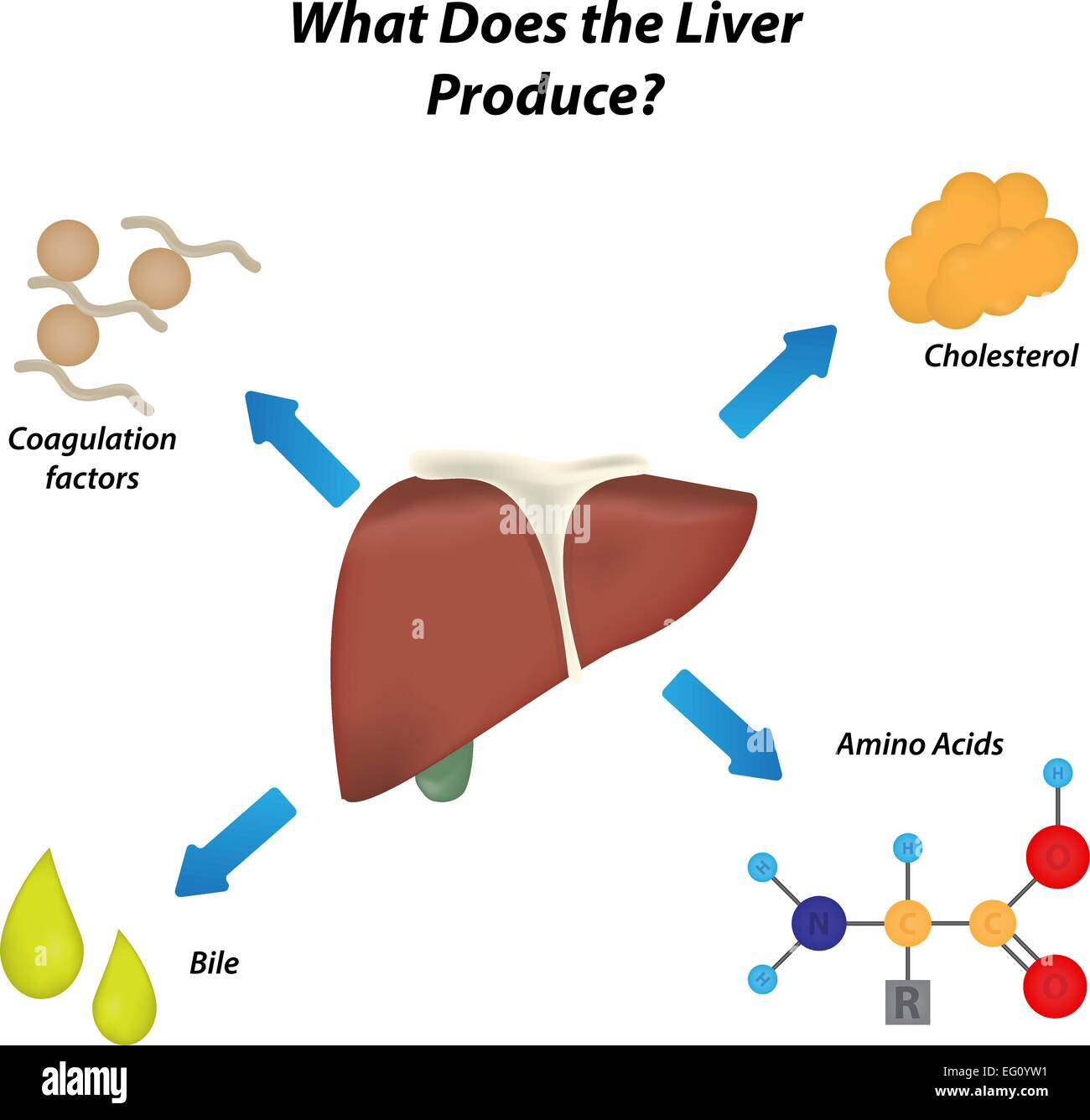 What does the Liver Produce Stock Vector Art & Illustration, Vector ...