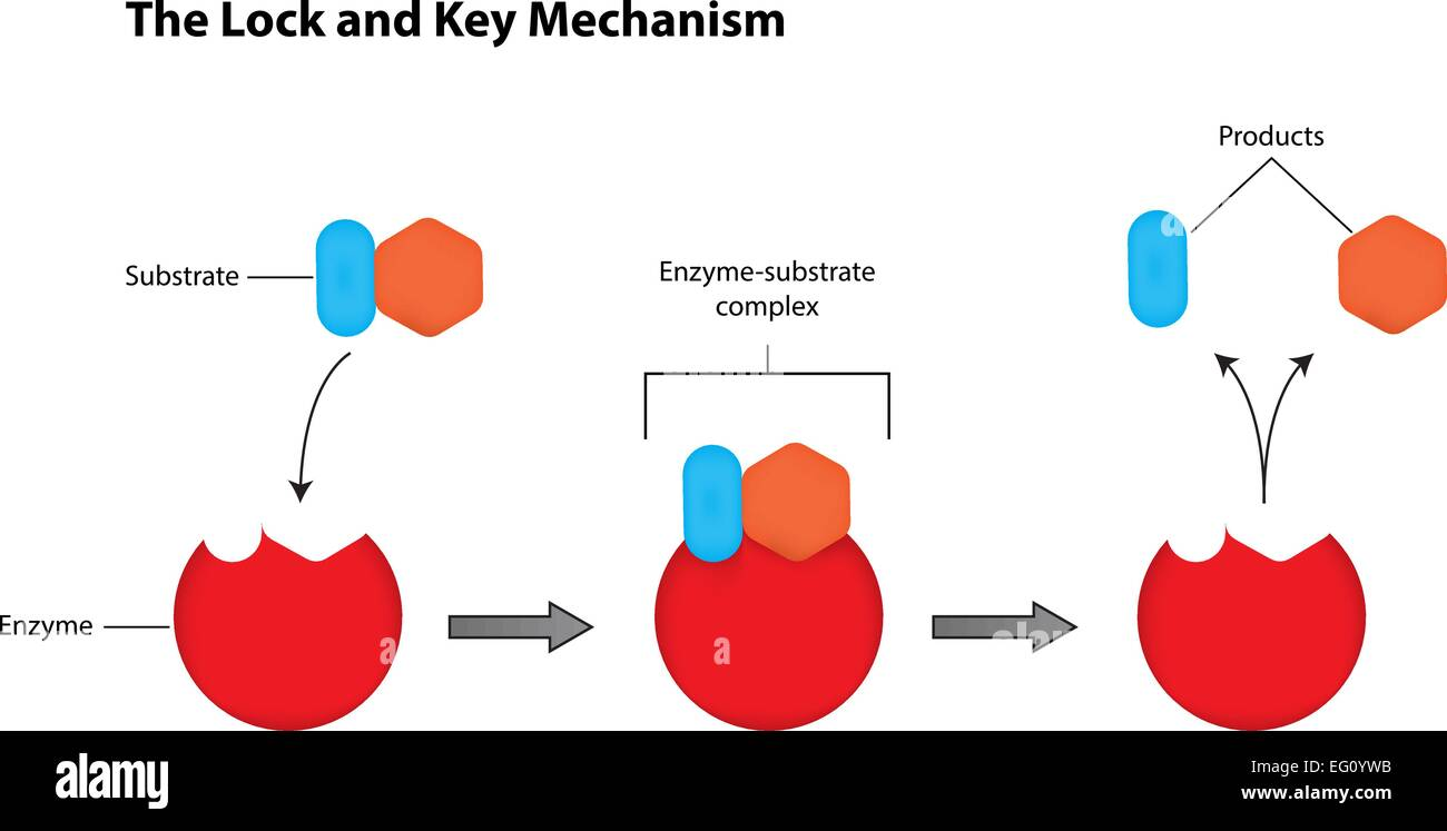The Lock and Key Mechanism of Enzymes - Stock Image