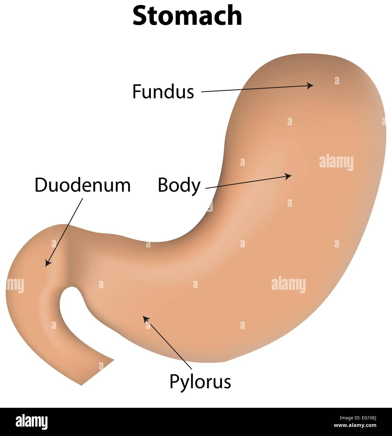 Stock Vector Stomach Labeled Diagram
