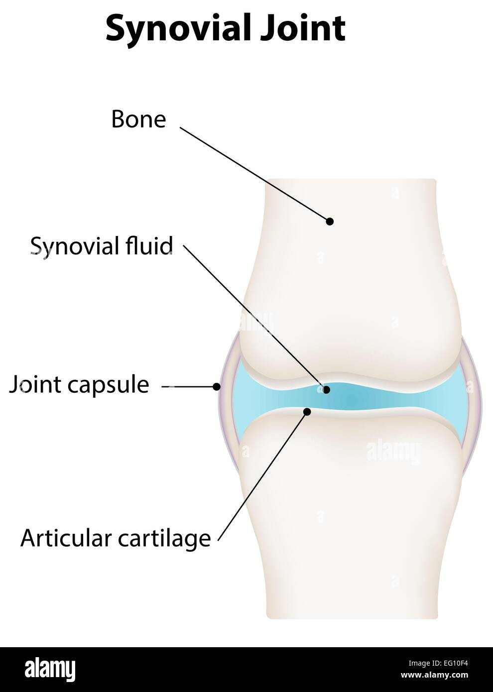 Anatomy Knee Joint Labeled Stock Photos & Anatomy Knee Joint Labeled ...