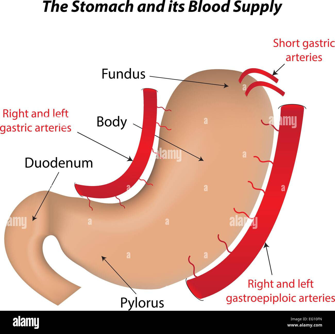 The Stomach and its Blood Supply Stock Vector Art & Illustration ...